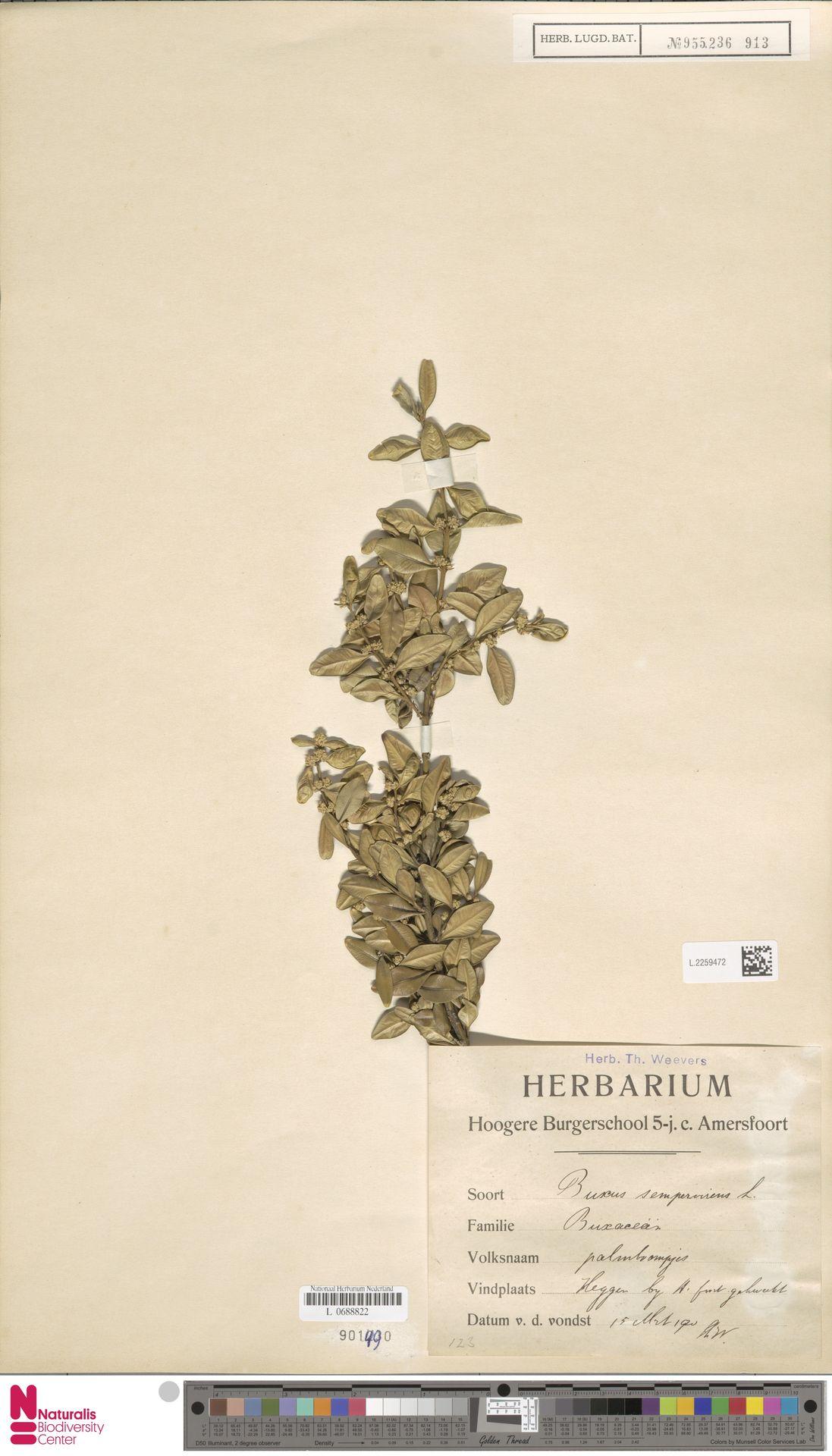 L.2259472 | Buxus sempervirens L.
