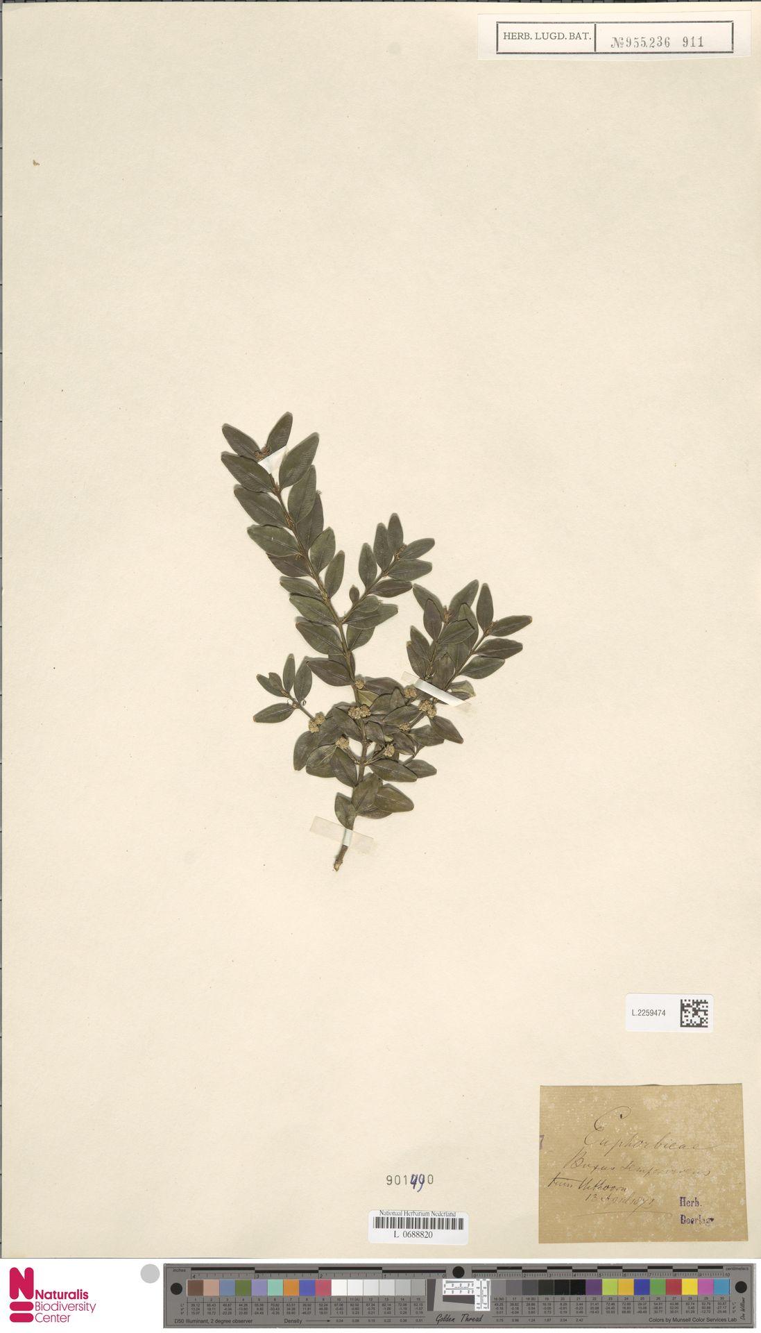 L.2259474 | Buxus sempervirens L.