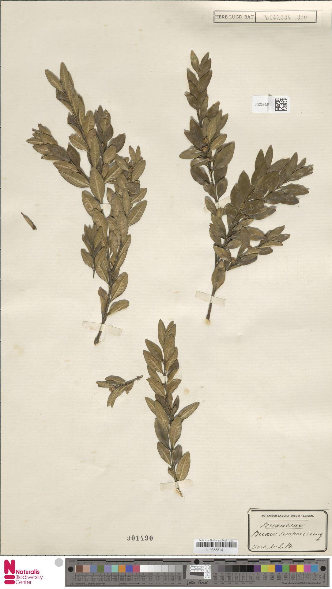 L.2259482   Buxus sempervirens L.