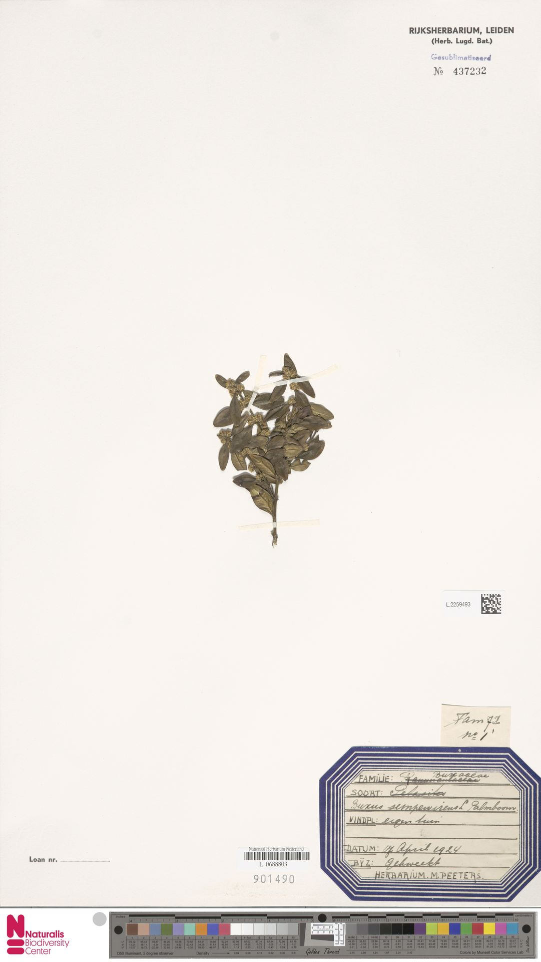 L.2259493 | Buxus sempervirens L.