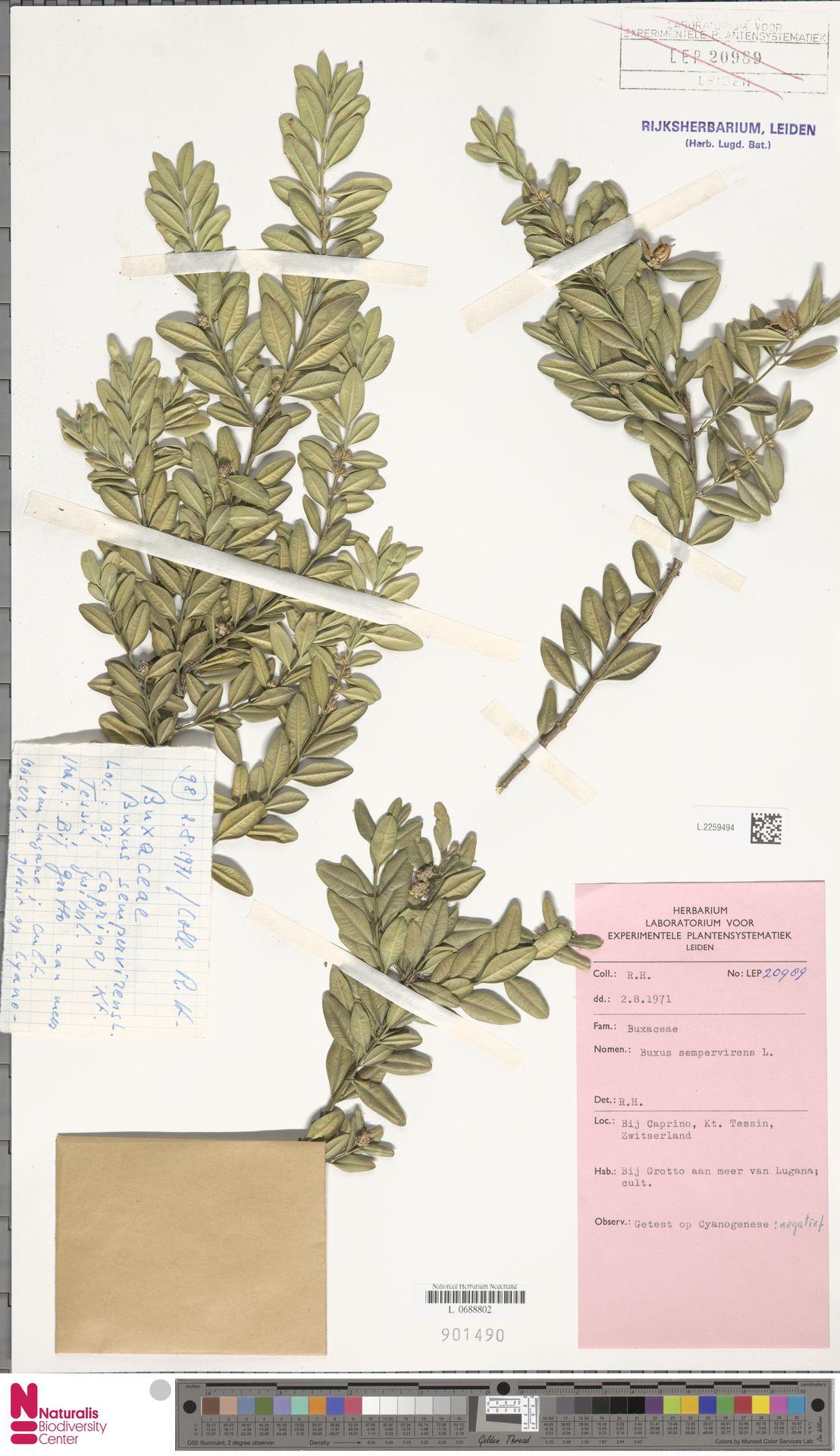 L.2259494 | Buxus sempervirens L.