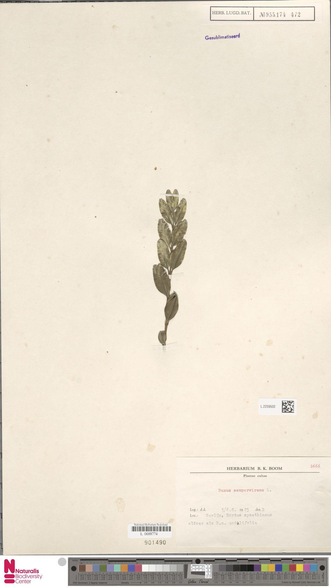 L.2259502   Buxus sempervirens L.