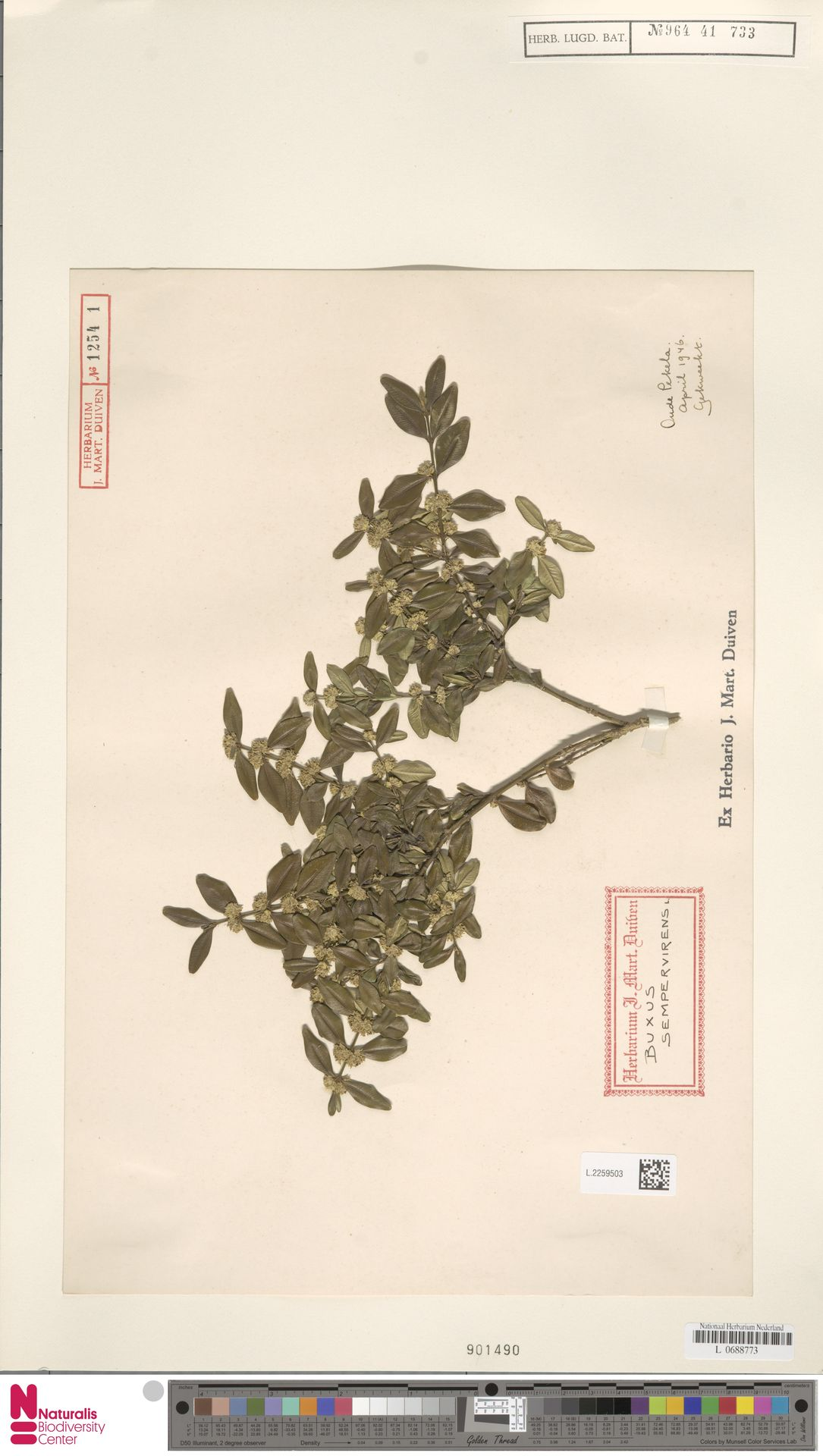L.2259503 | Buxus sempervirens L.
