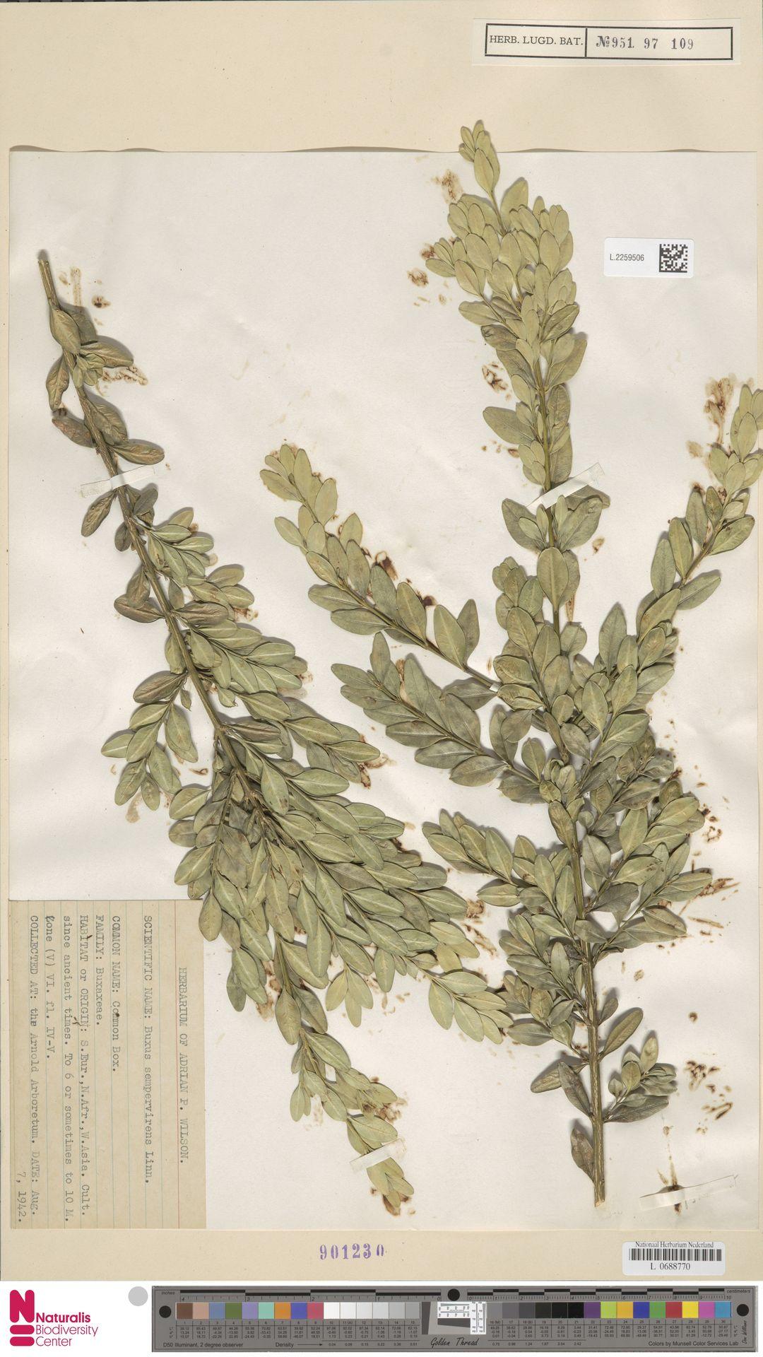 L.2259506 | Buxus sempervirens L.
