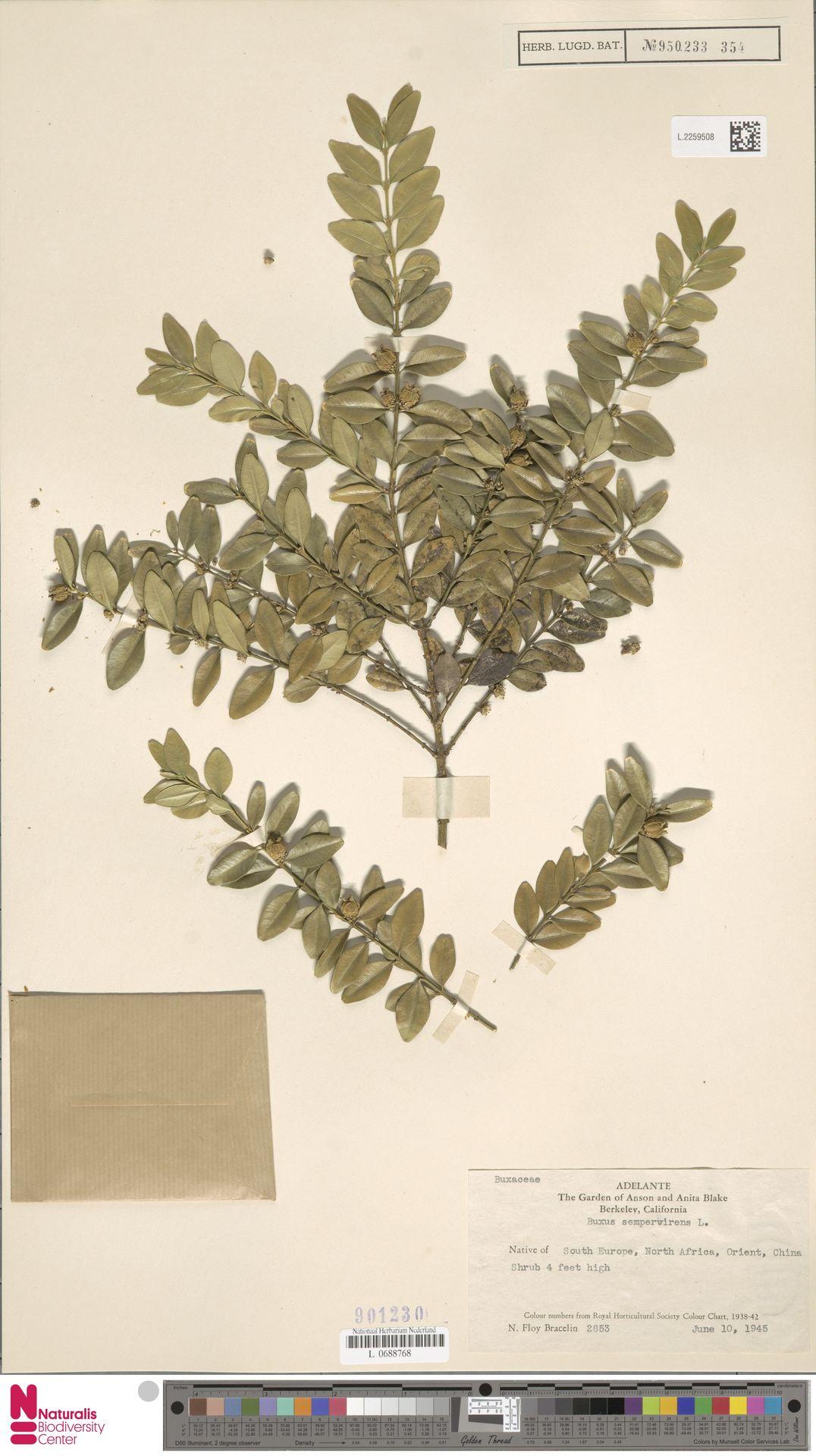 L.2259508   Buxus sempervirens L.