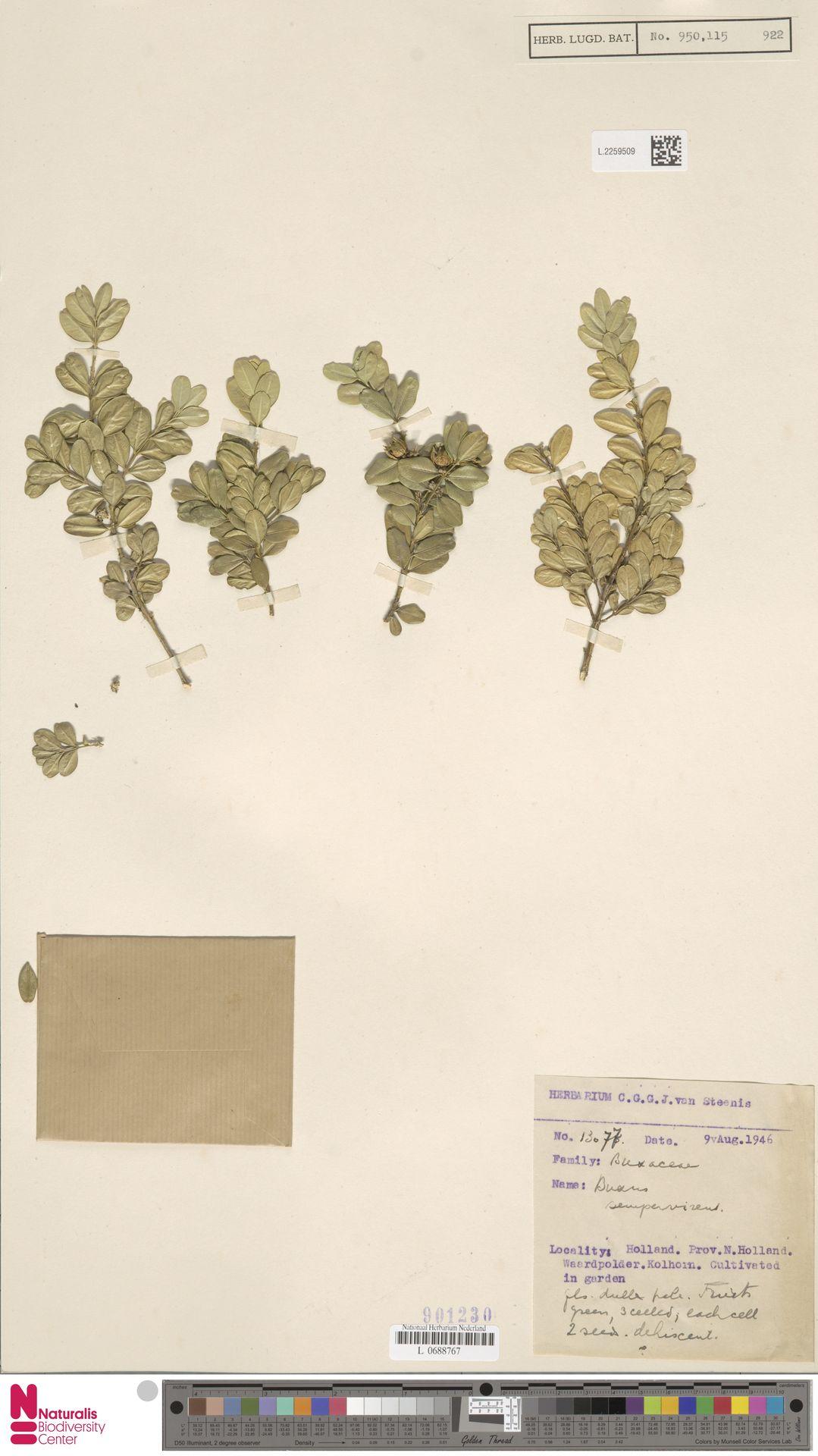 L.2259509 | Buxus sempervirens L.