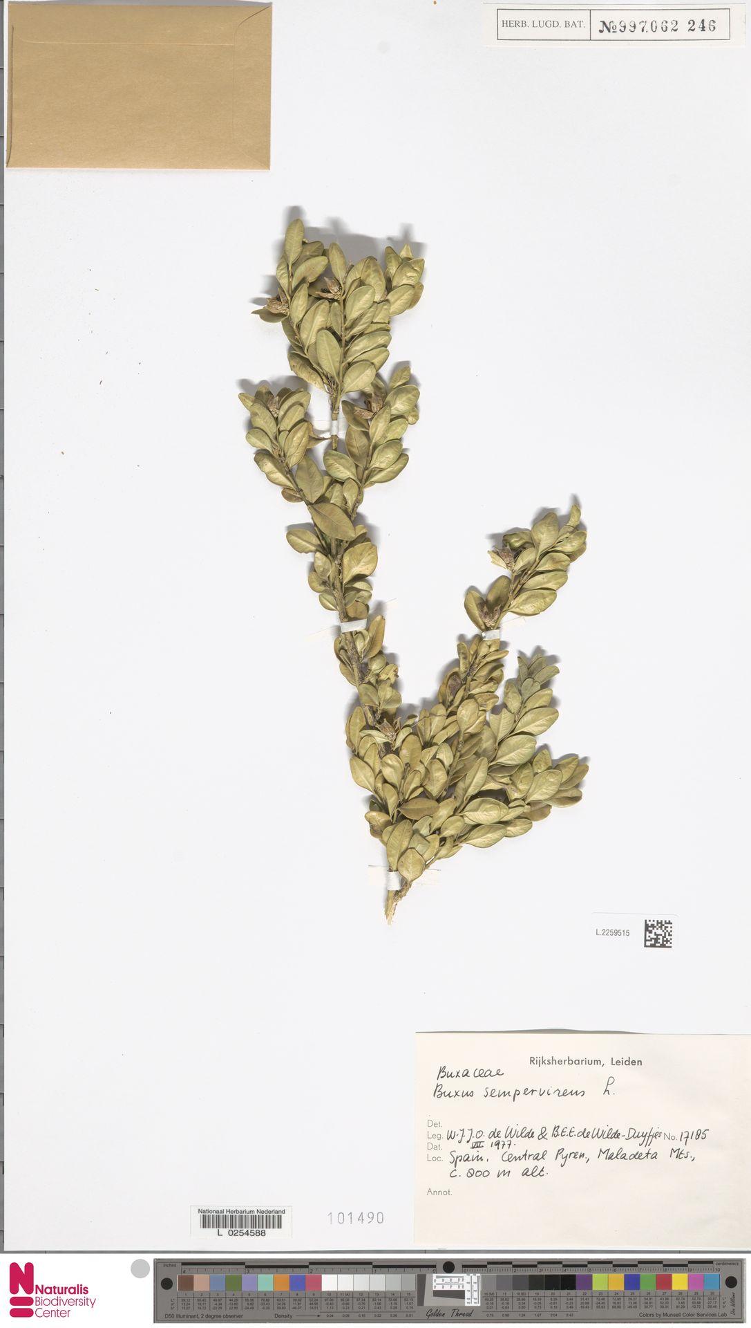 L.2259515 | Buxus sempervirens L.