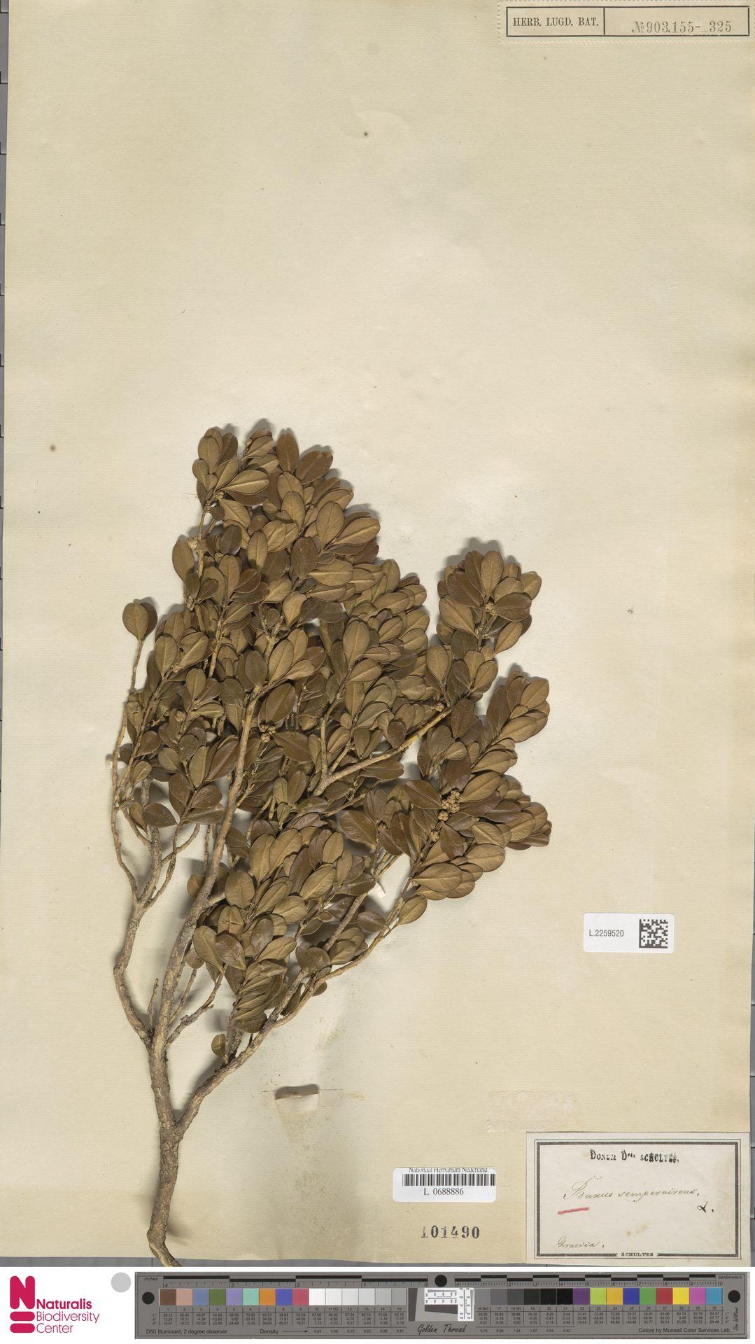 L.2259520 | Buxus sempervirens L.