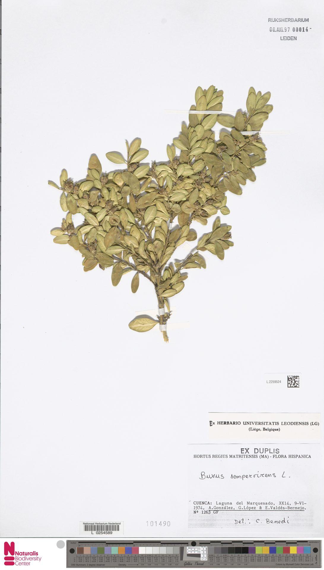 L.2259524 | Buxus sempervirens L.
