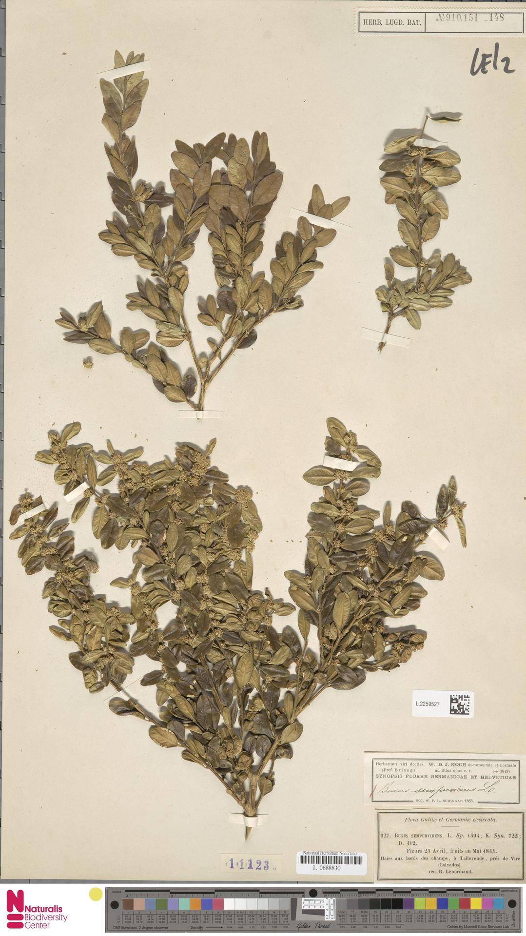 L.2259527 | Buxus sempervirens L.