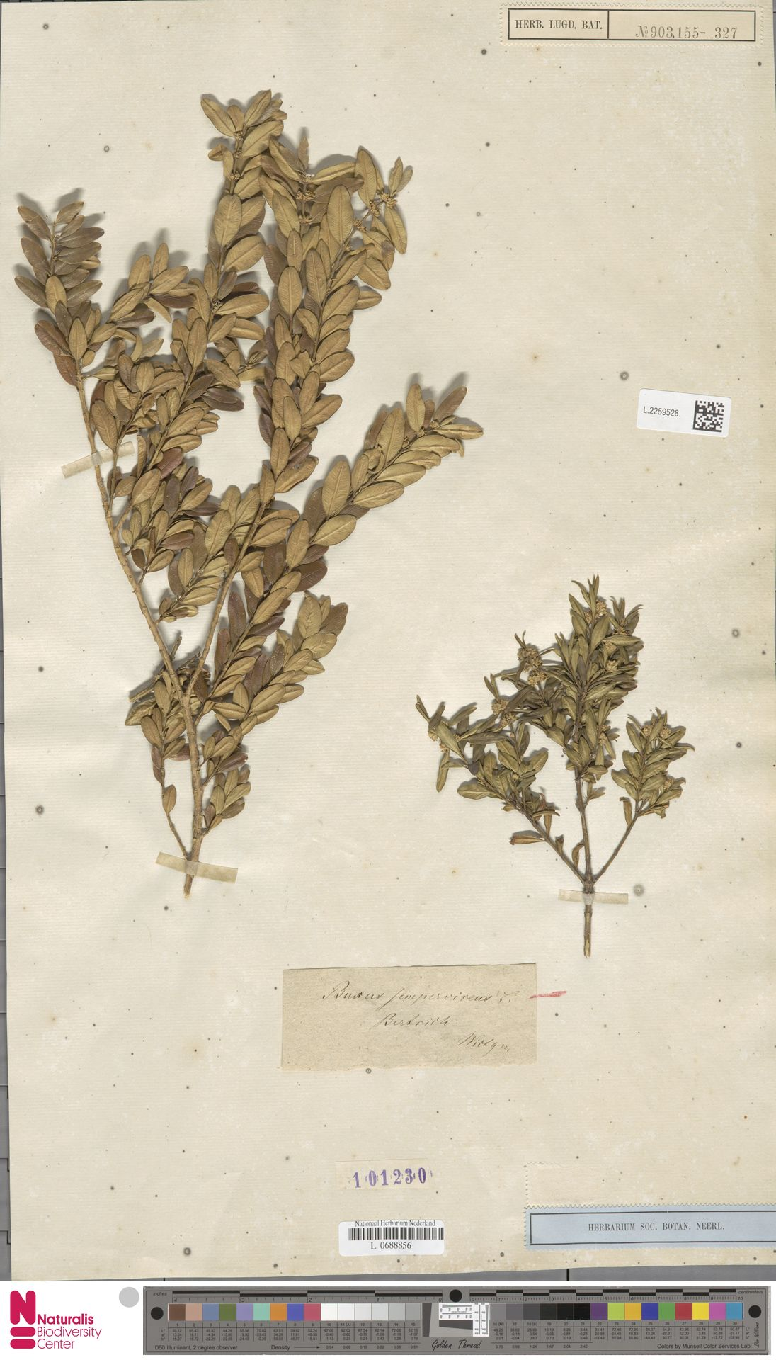 L.2259528 | Buxus sempervirens L.