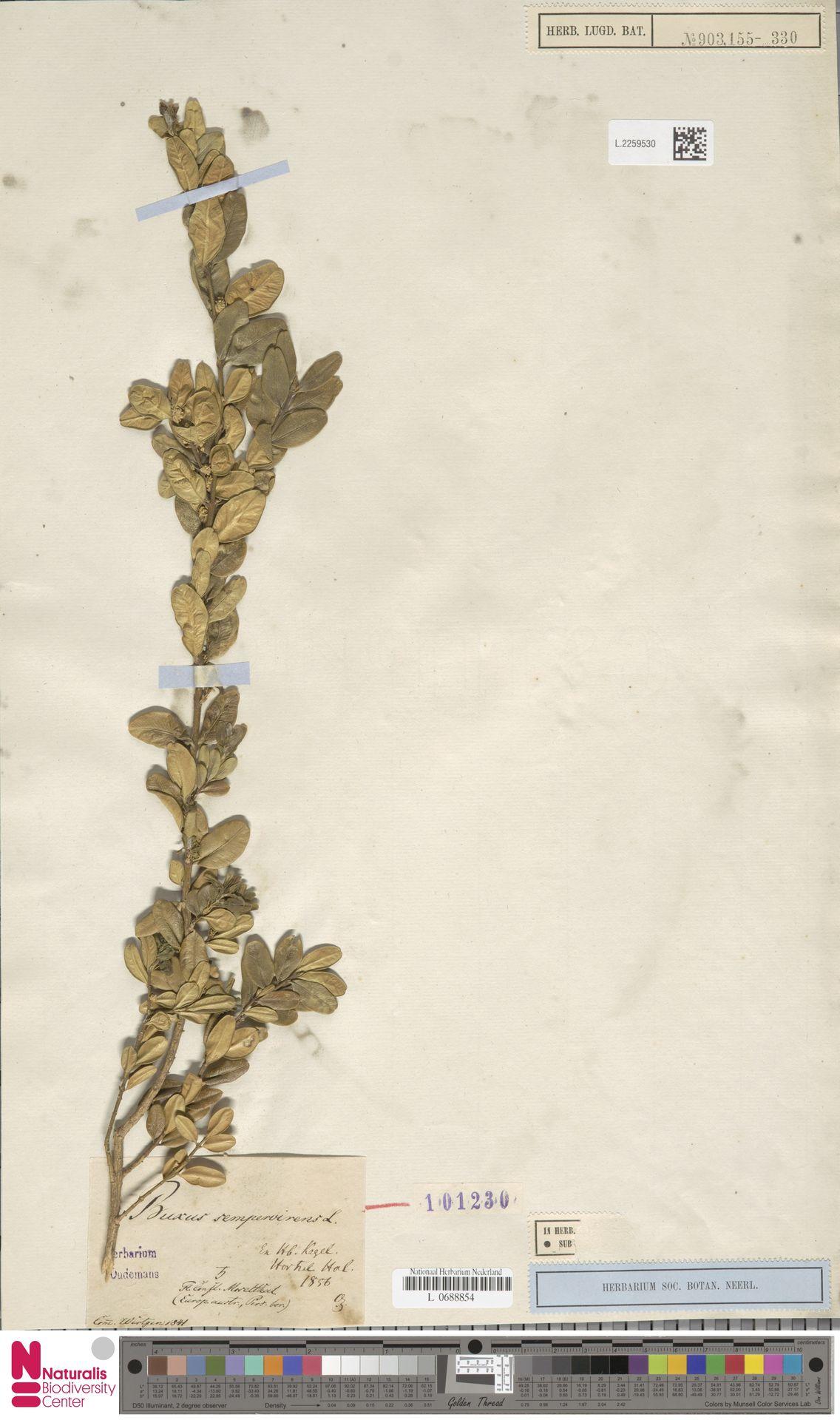 L.2259530 | Buxus sempervirens L.