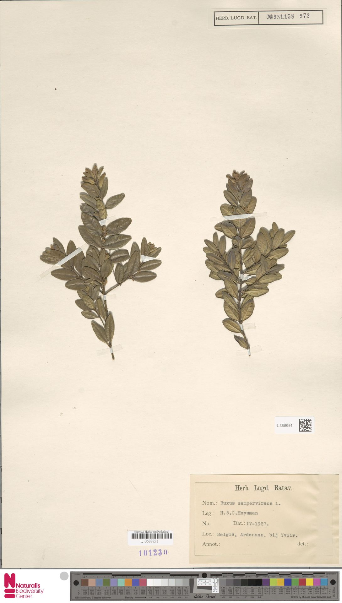 L.2259534 | Buxus sempervirens L.