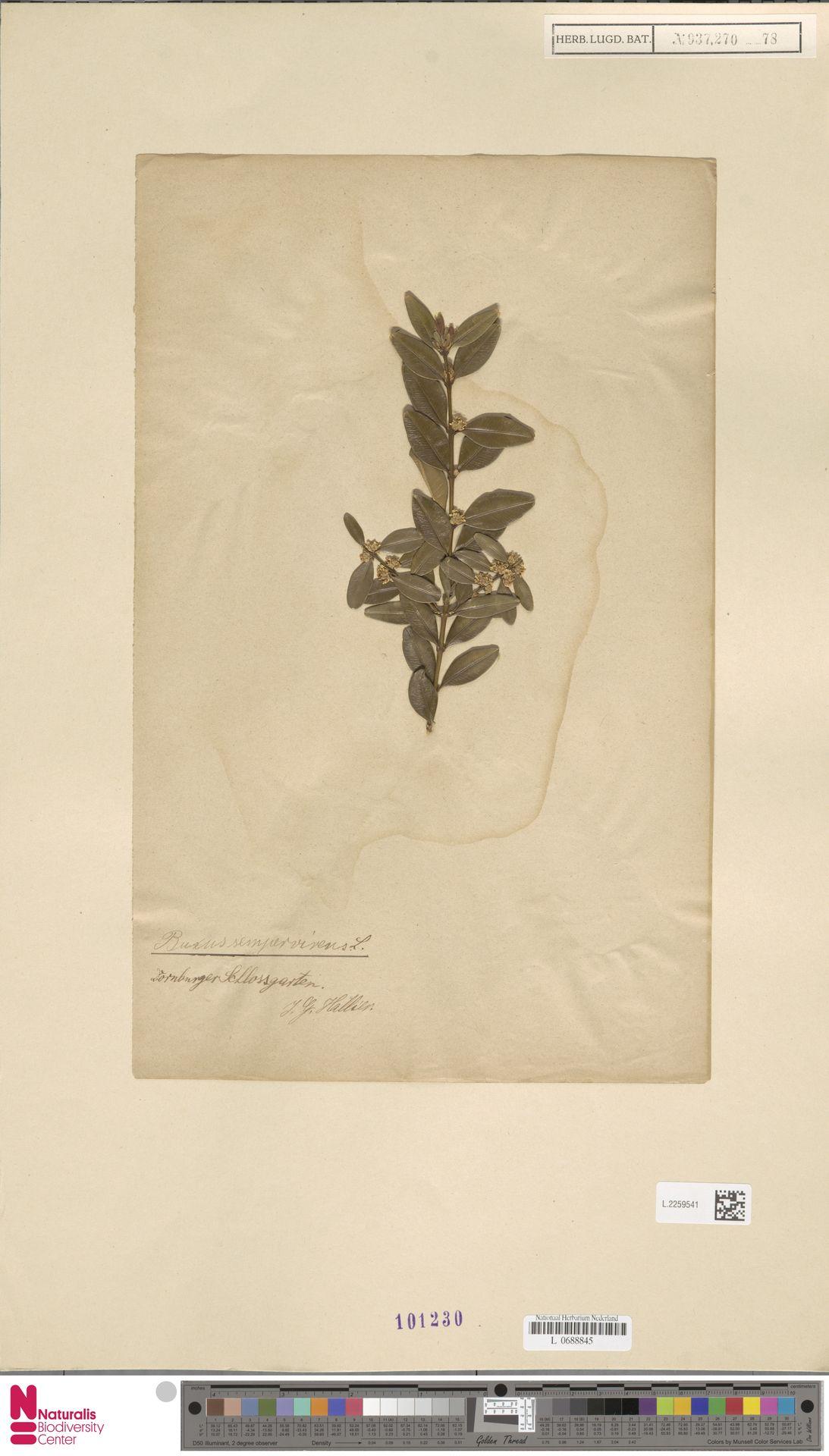 L.2259541   Buxus sempervirens L.