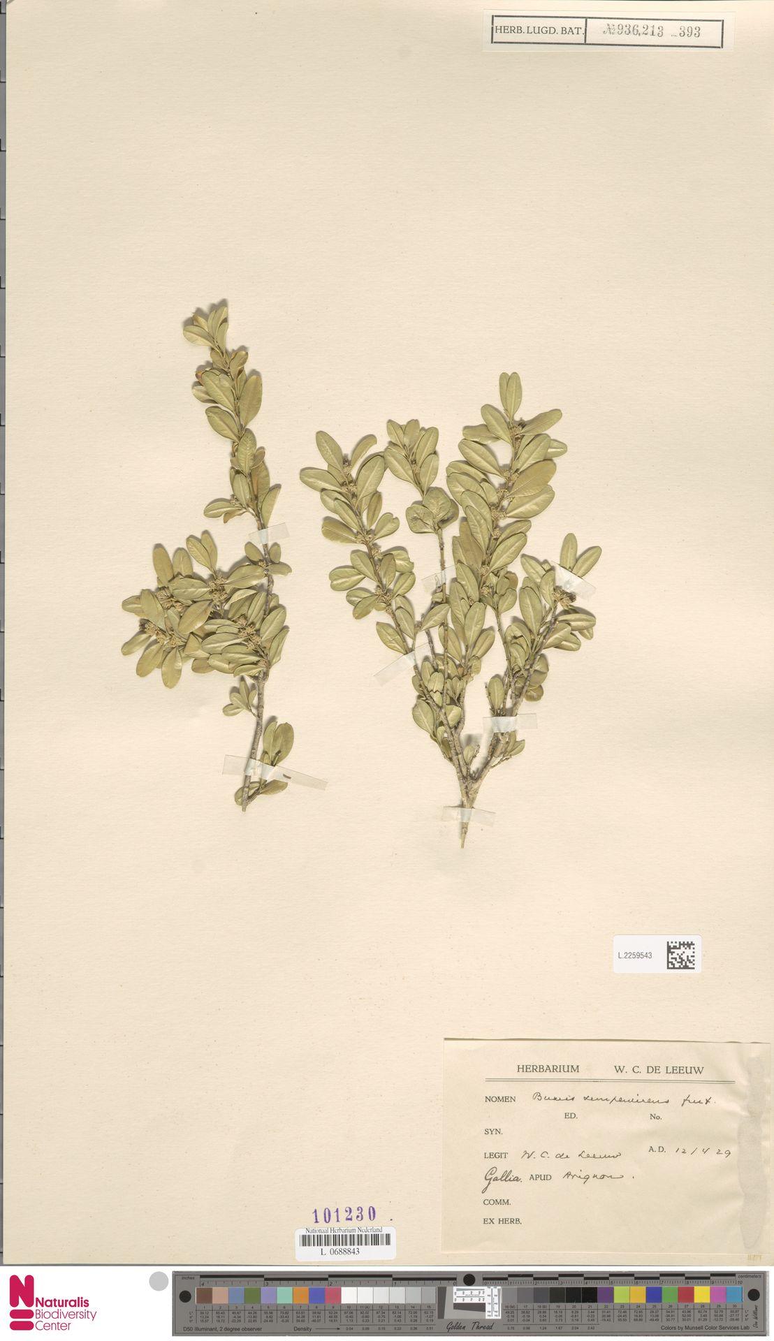 L.2259543   Buxus sempervirens L.