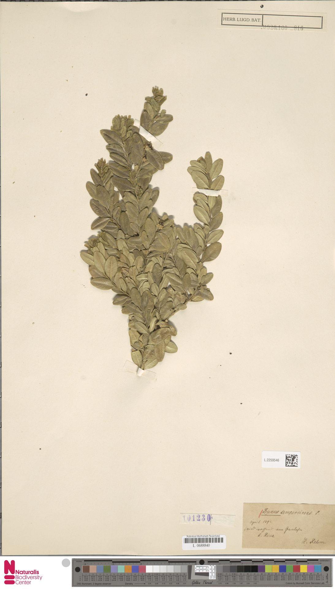 L.2259546 | Buxus sempervirens L.