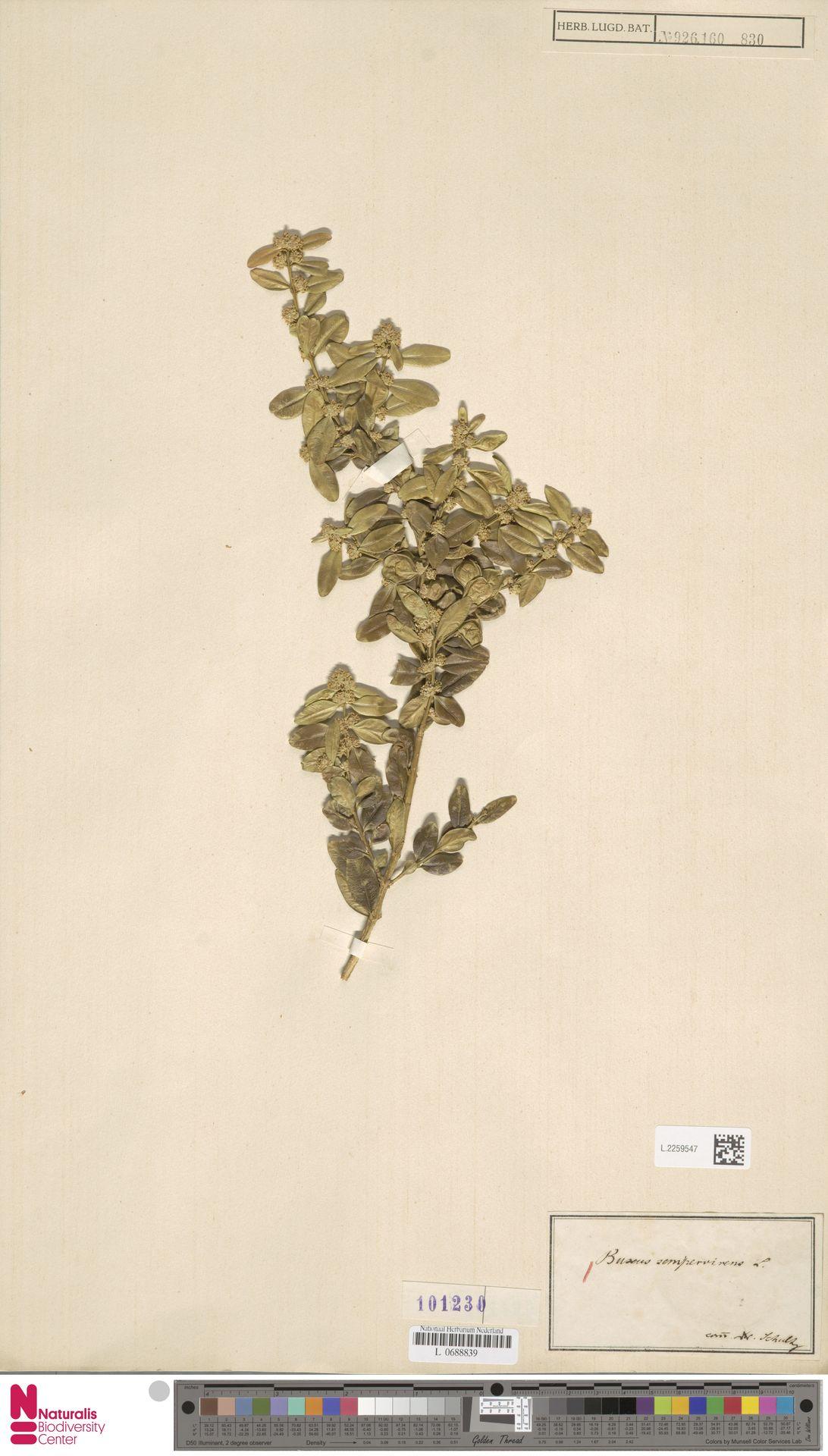 L.2259547 | Buxus sempervirens L.