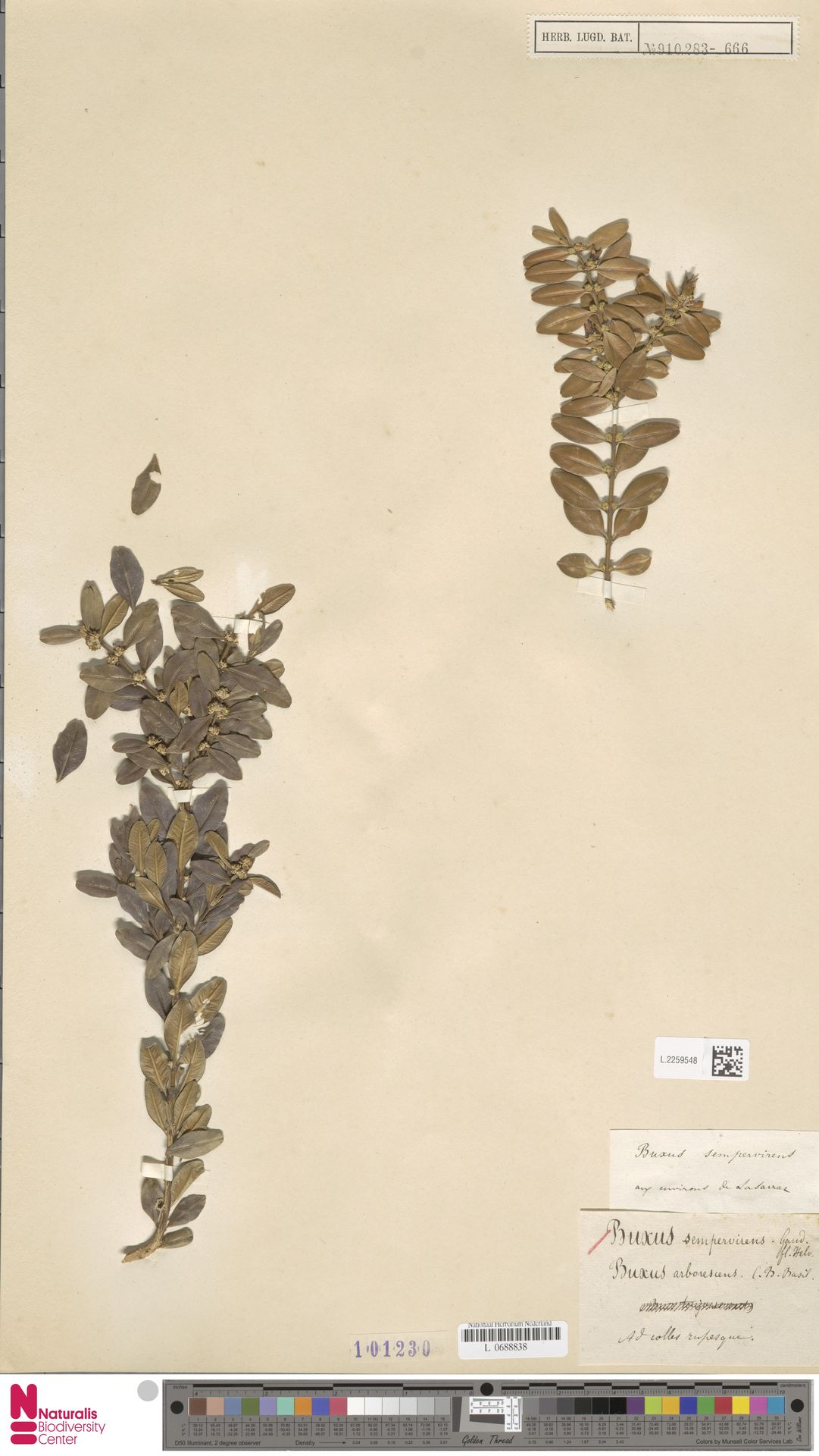 L.2259548   Buxus sempervirens L.