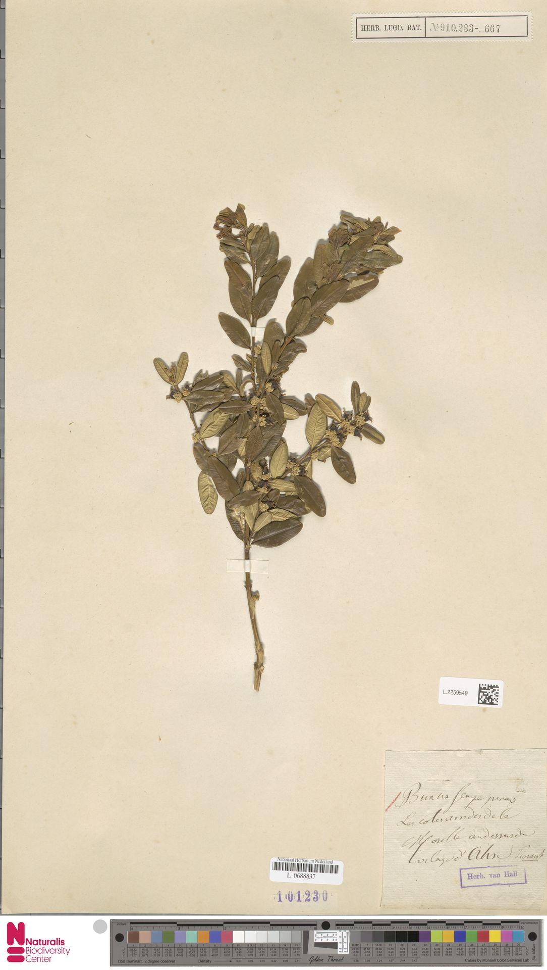 L.2259549 | Buxus sempervirens L.