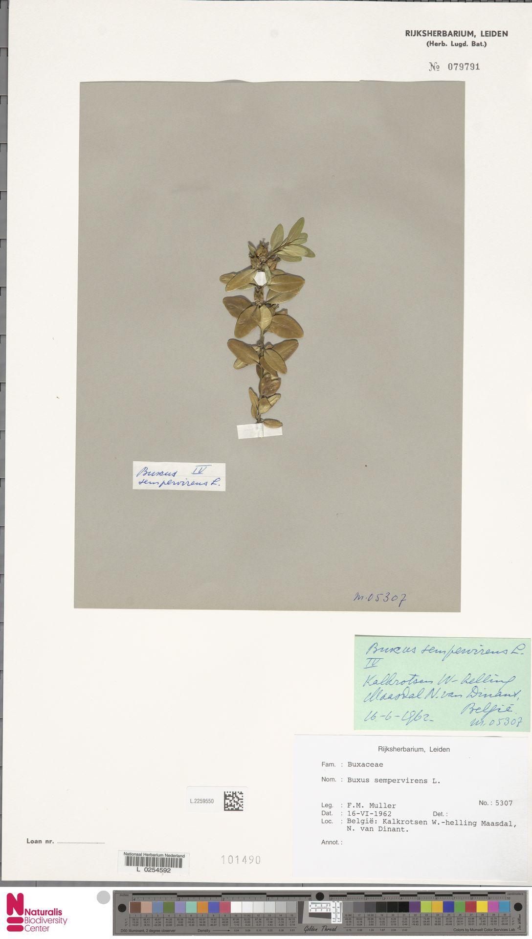 L.2259550 | Buxus sempervirens L.