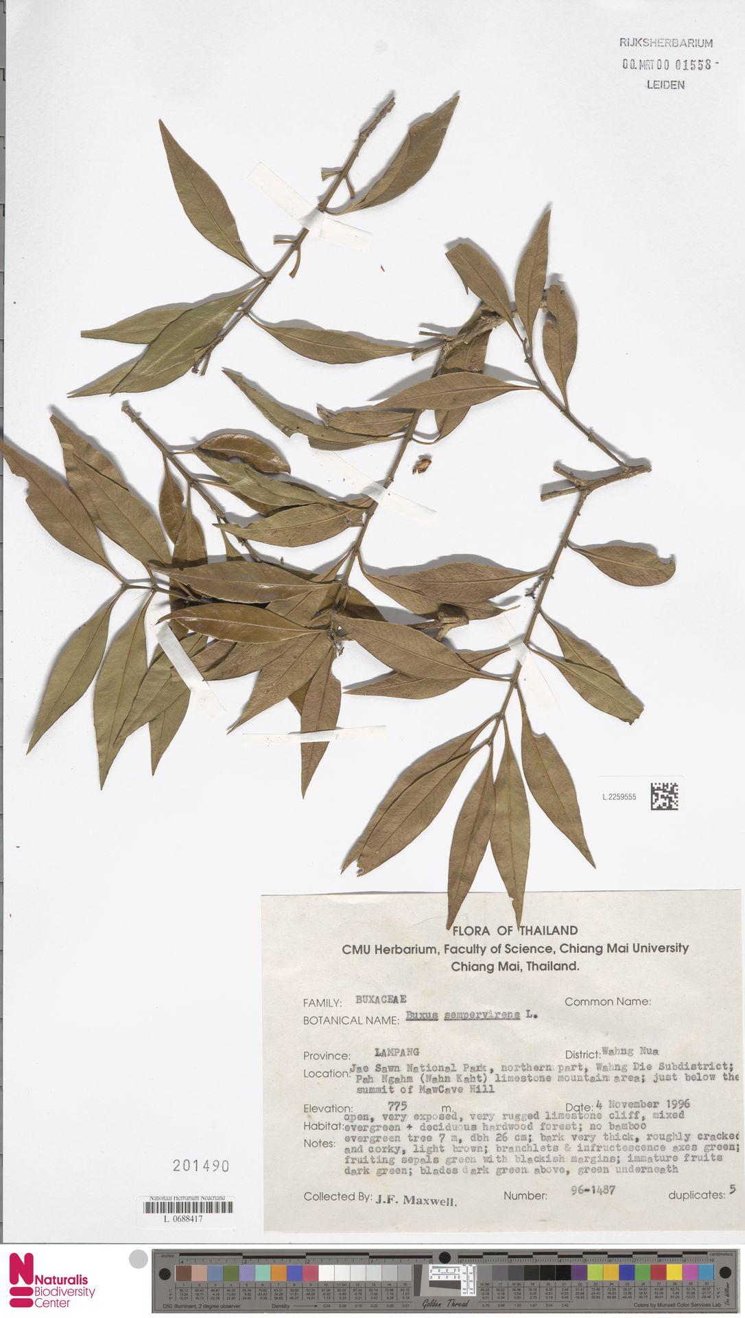 L.2259555 | Buxus sempervirens L.