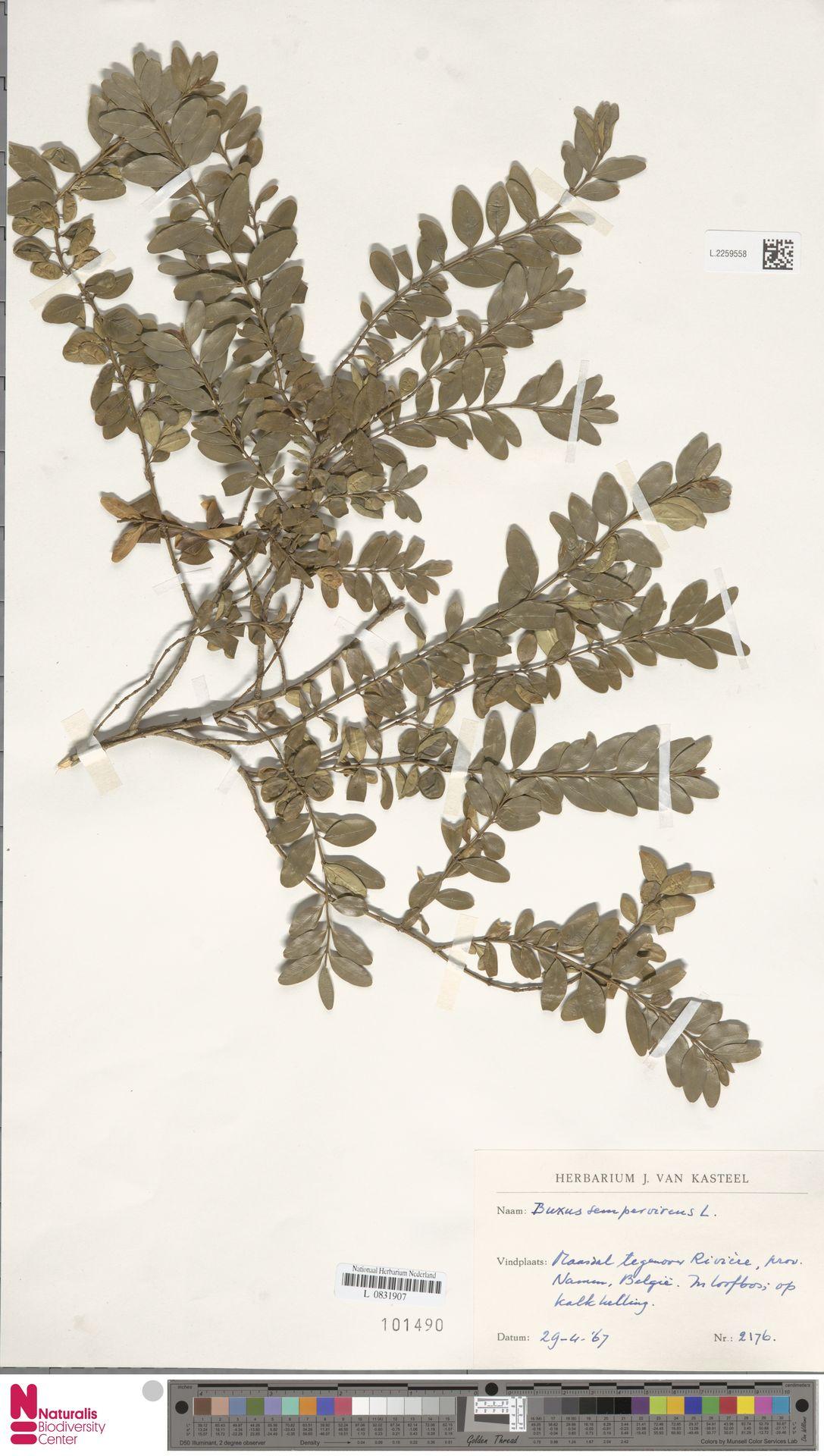 L.2259558 | Buxus sempervirens L.