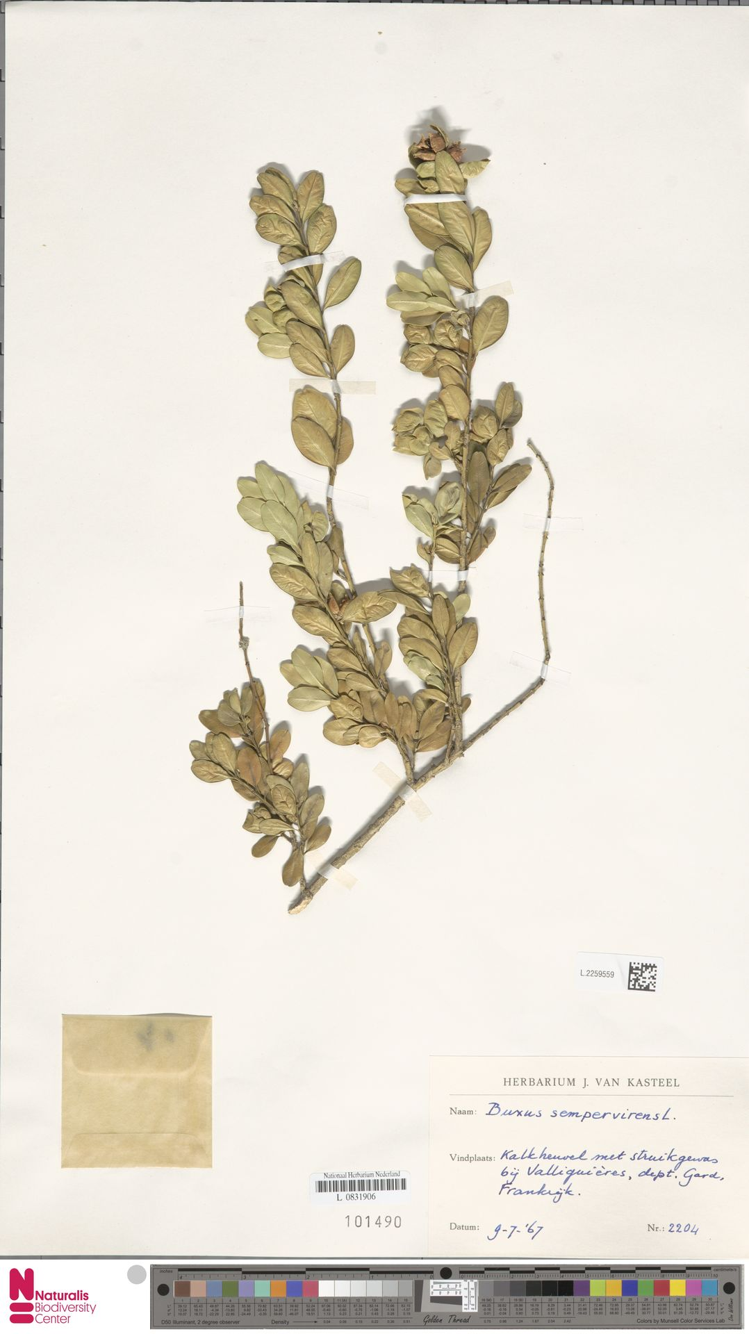 L.2259559   Buxus sempervirens L.