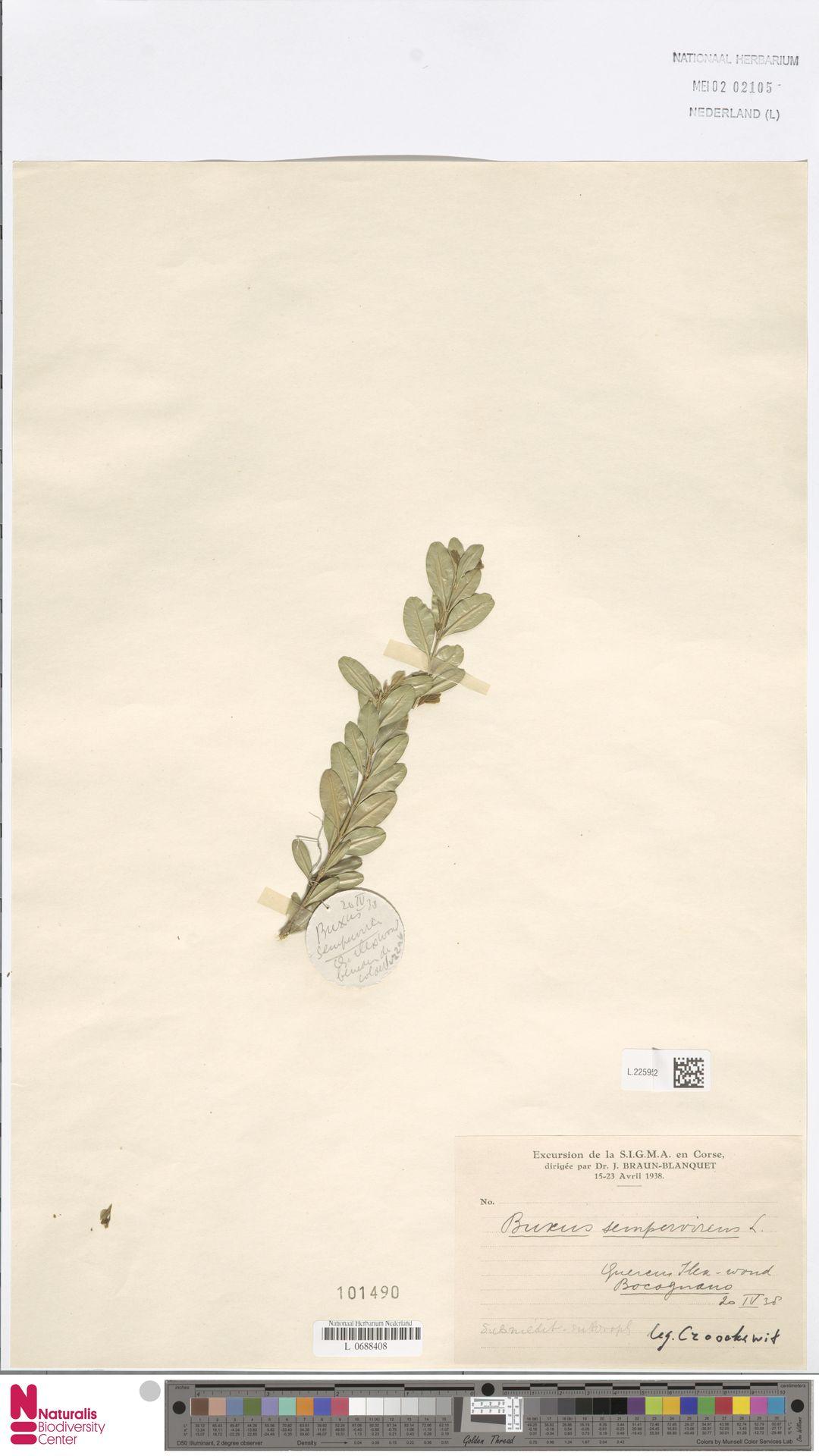 L.2259562 | Buxus sempervirens L.