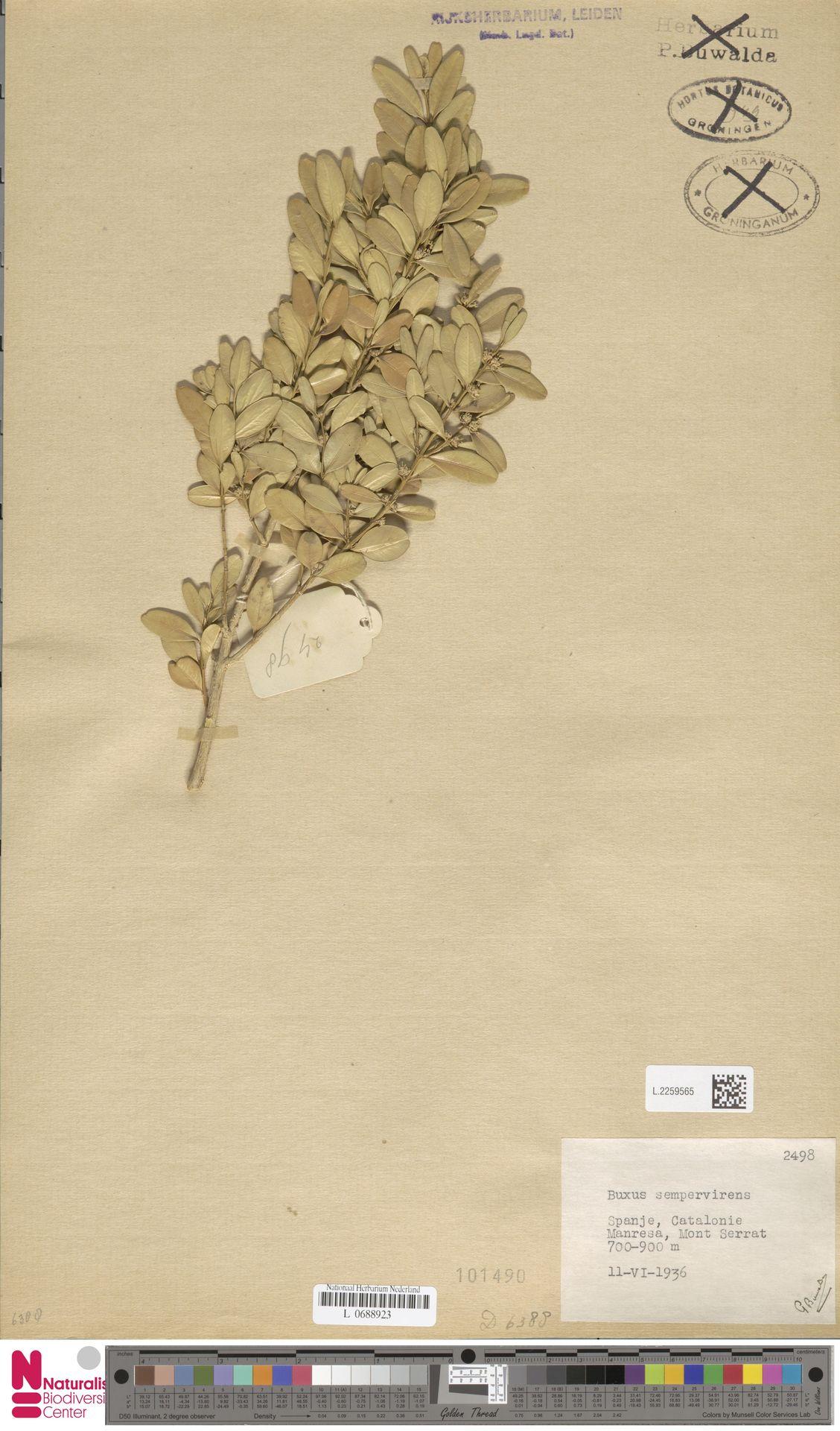 L.2259565 | Buxus sempervirens L.