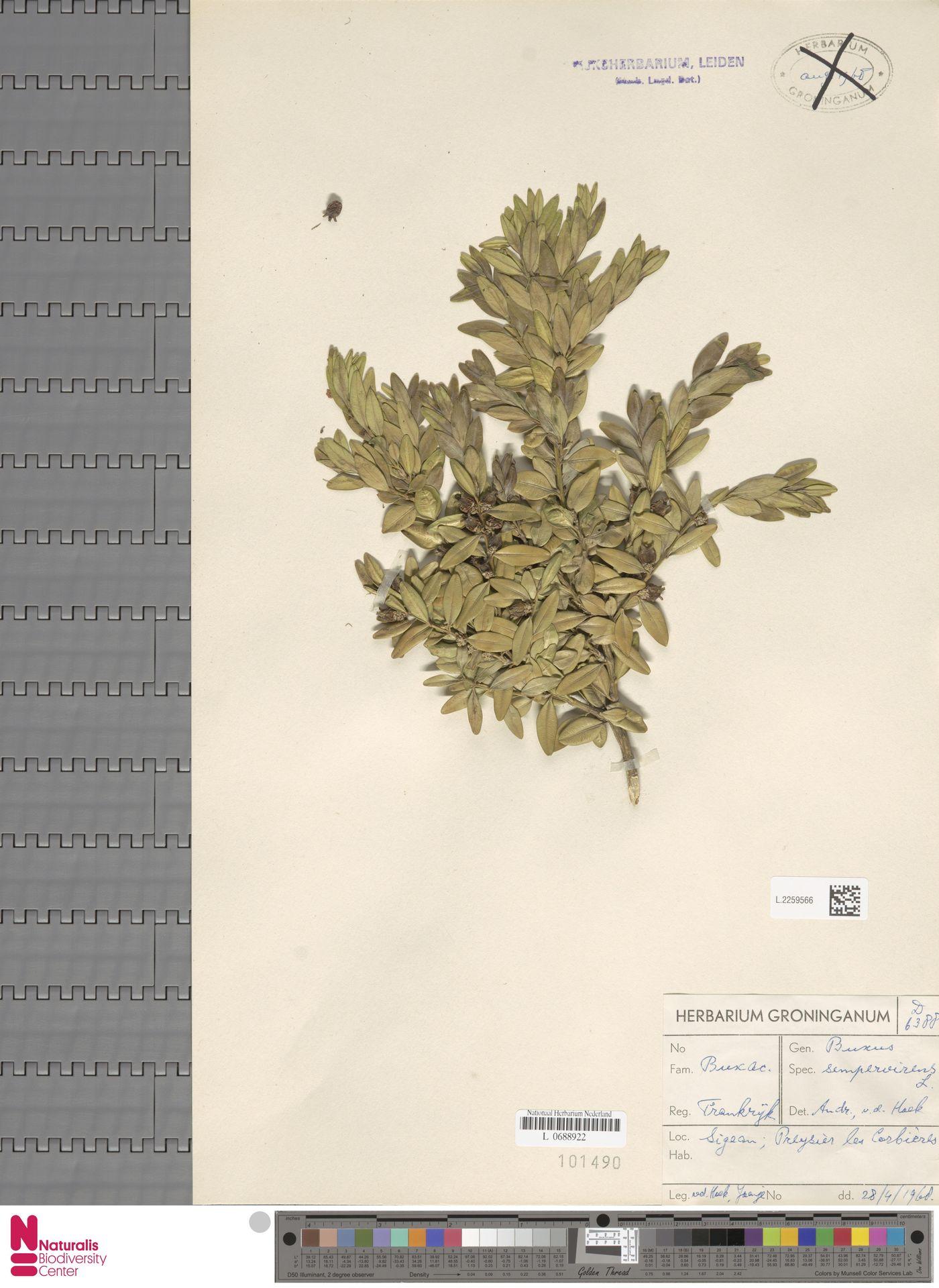 L.2259566   Buxus sempervirens L.
