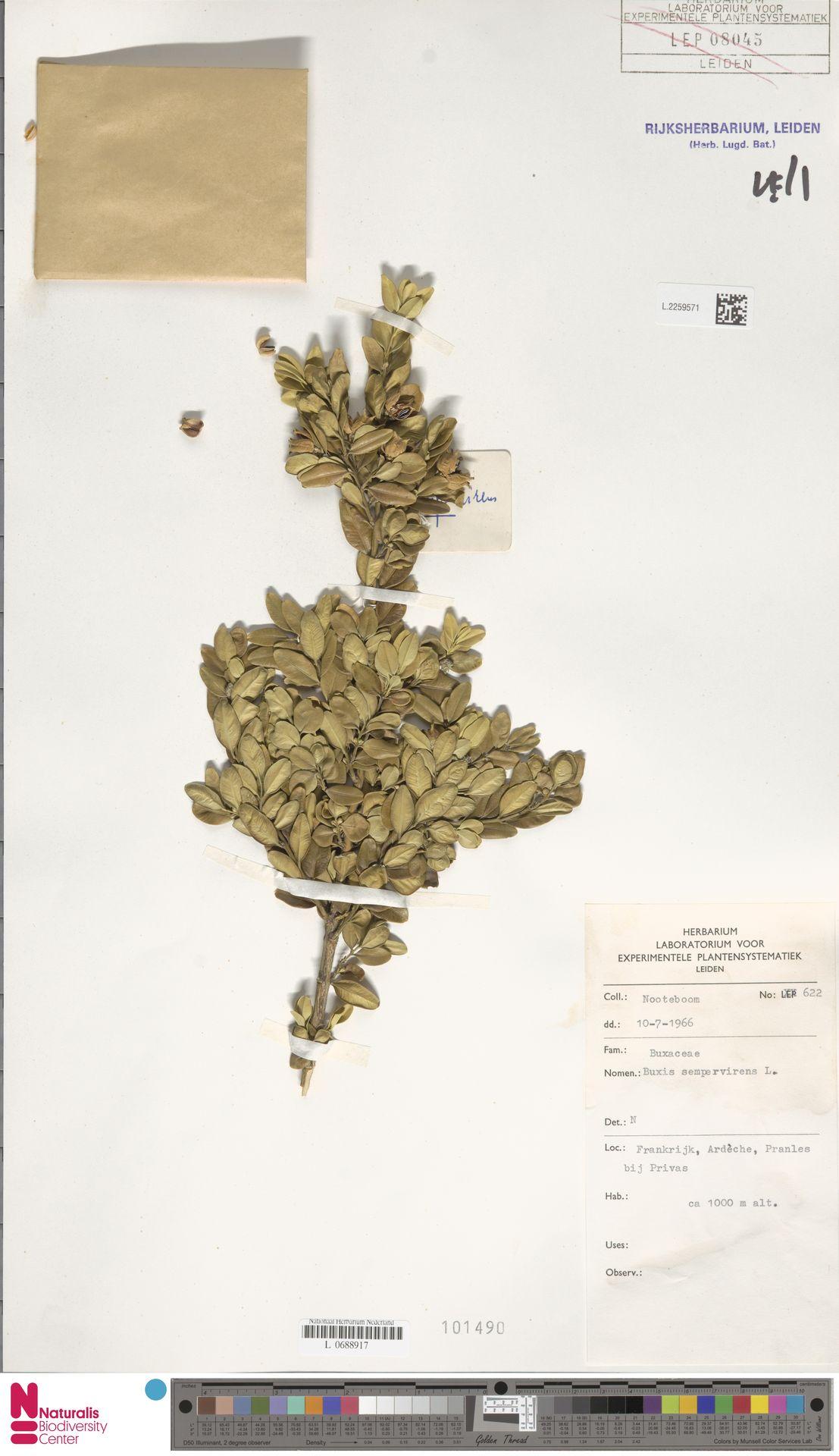 L.2259571   Buxus sempervirens L.