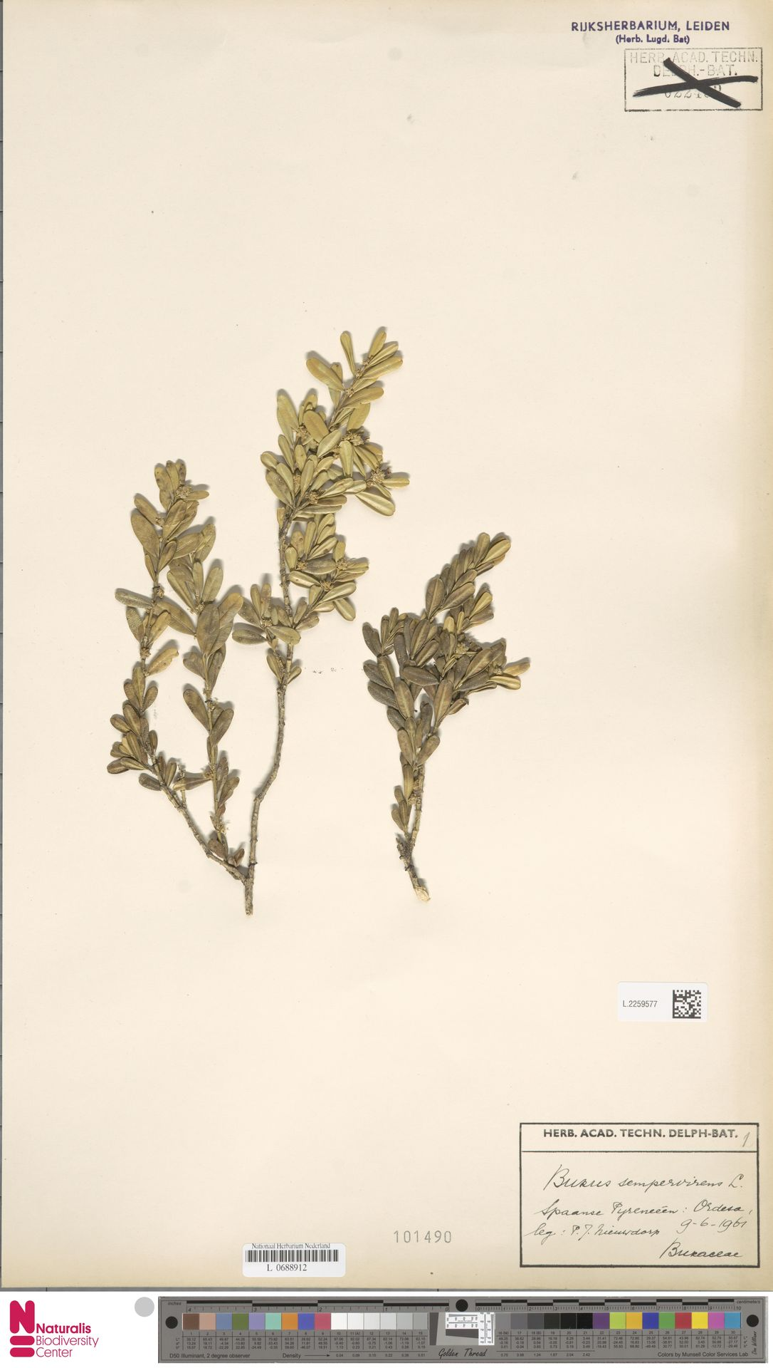 L.2259577 | Buxus sempervirens L.