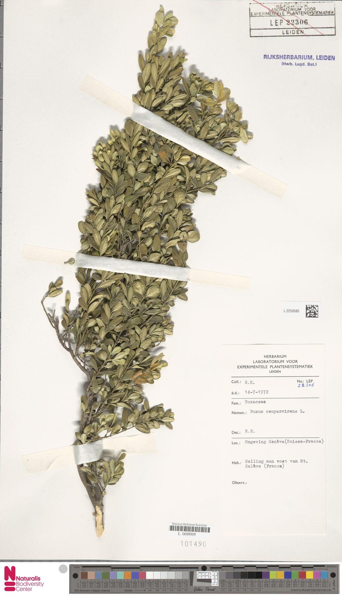 L.2259580 | Buxus sempervirens L.