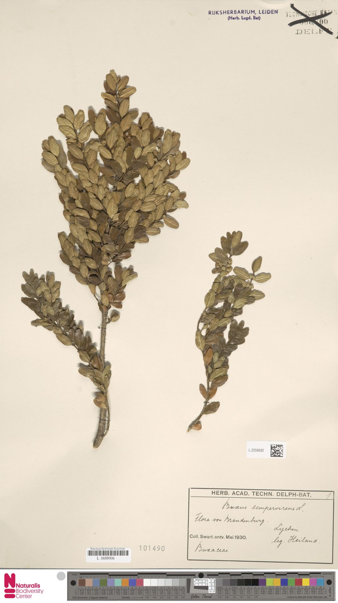 L.2259582   Buxus sempervirens L.