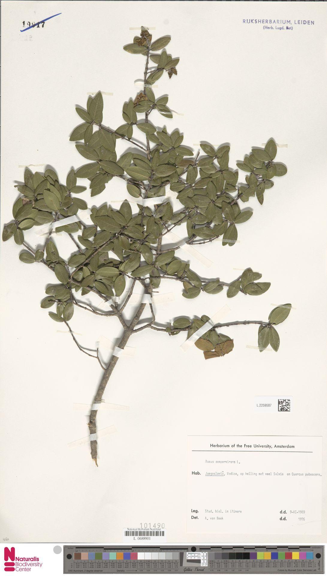 L.2259587 | Buxus sempervirens L.