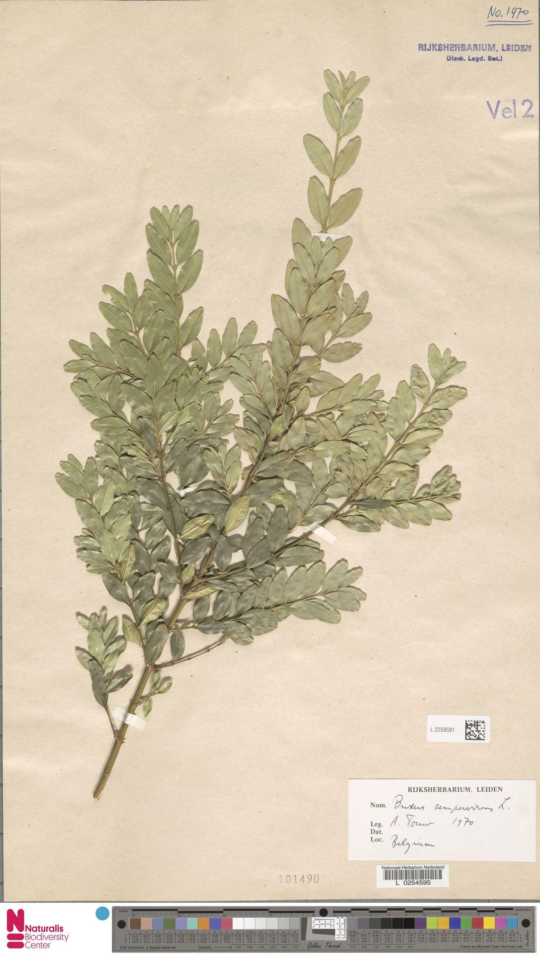 L.2259591   Buxus sempervirens L.