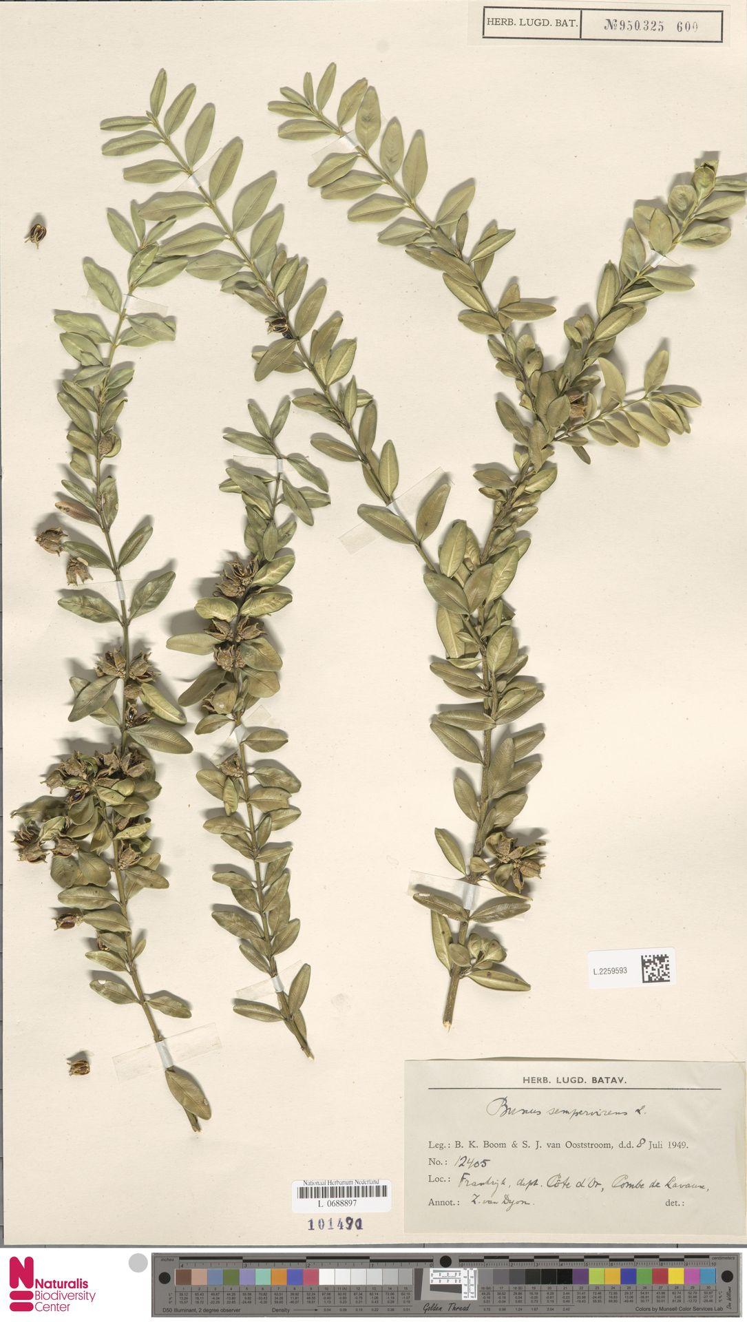 L.2259593 | Buxus sempervirens L.