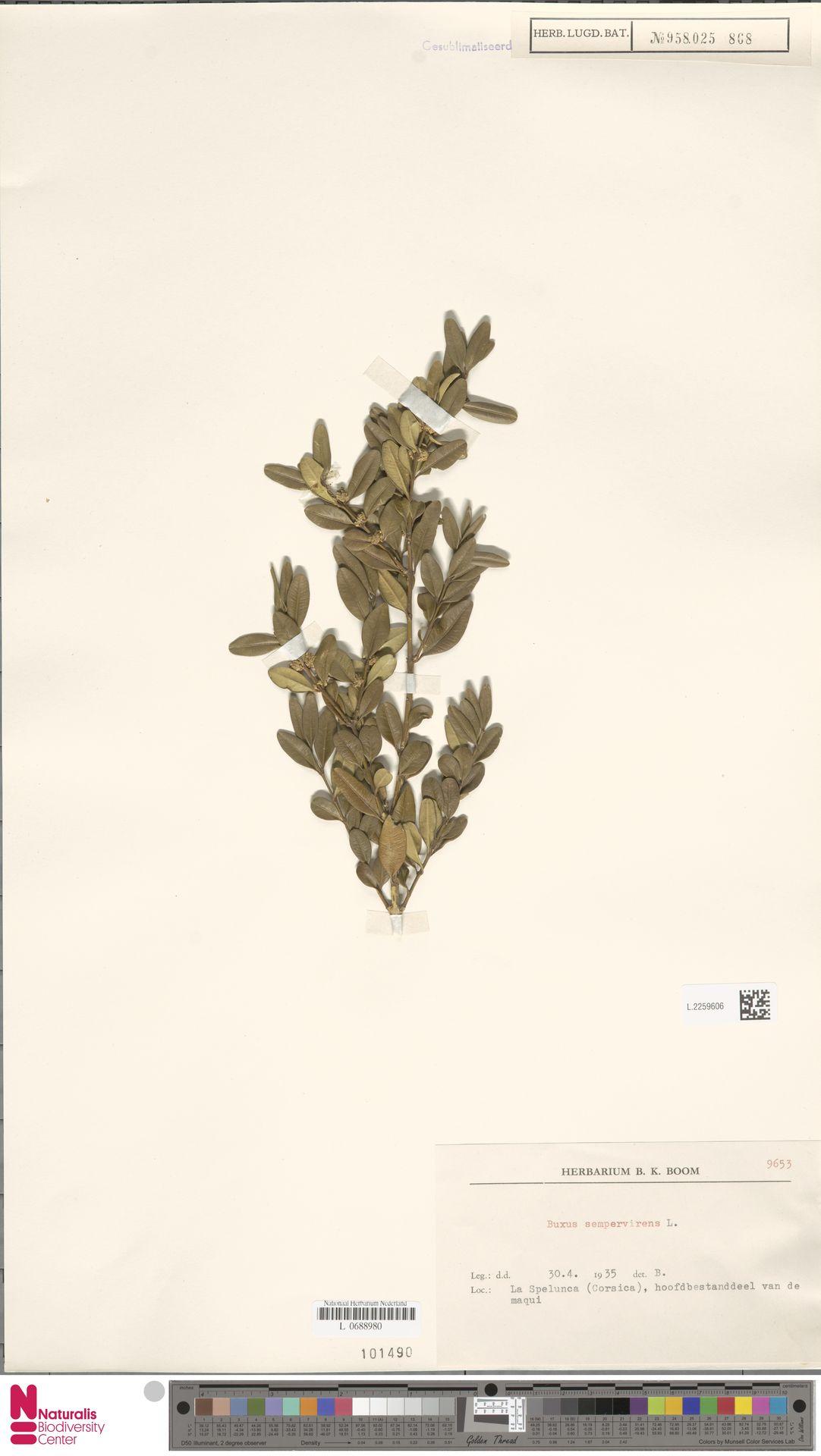 L.2259606 | Buxus sempervirens L.