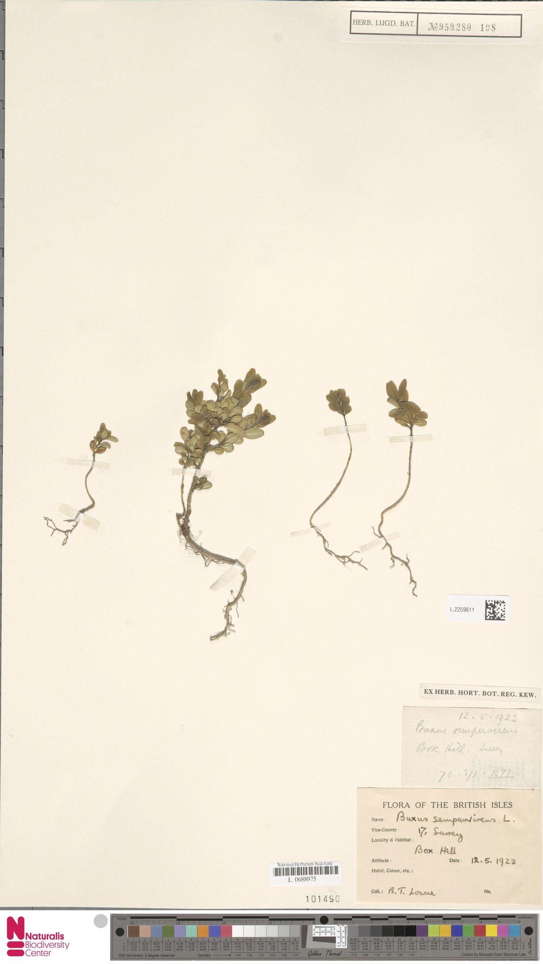 L.2259611 | Buxus sempervirens L.