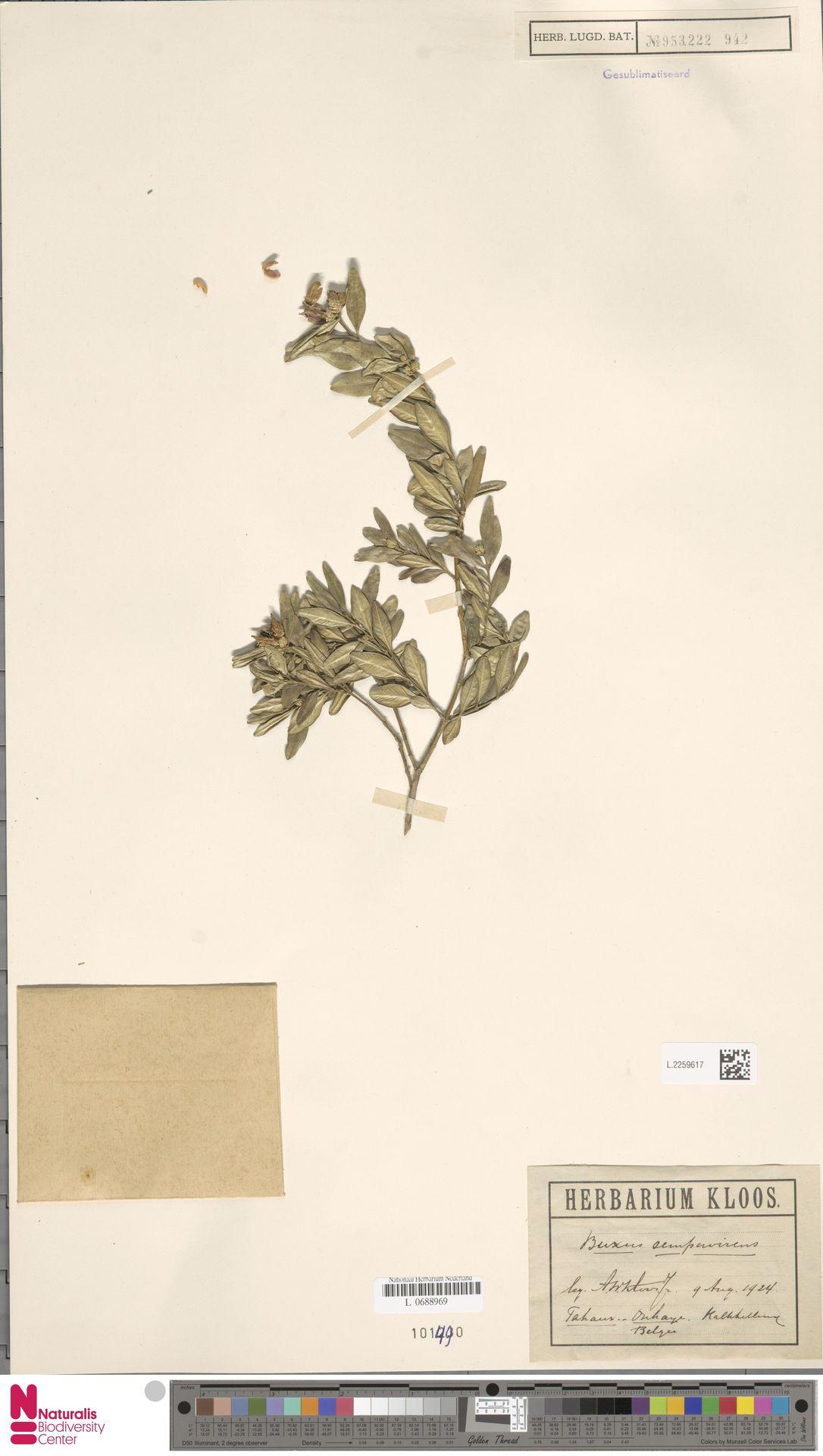 L.2259617 | Buxus sempervirens L.