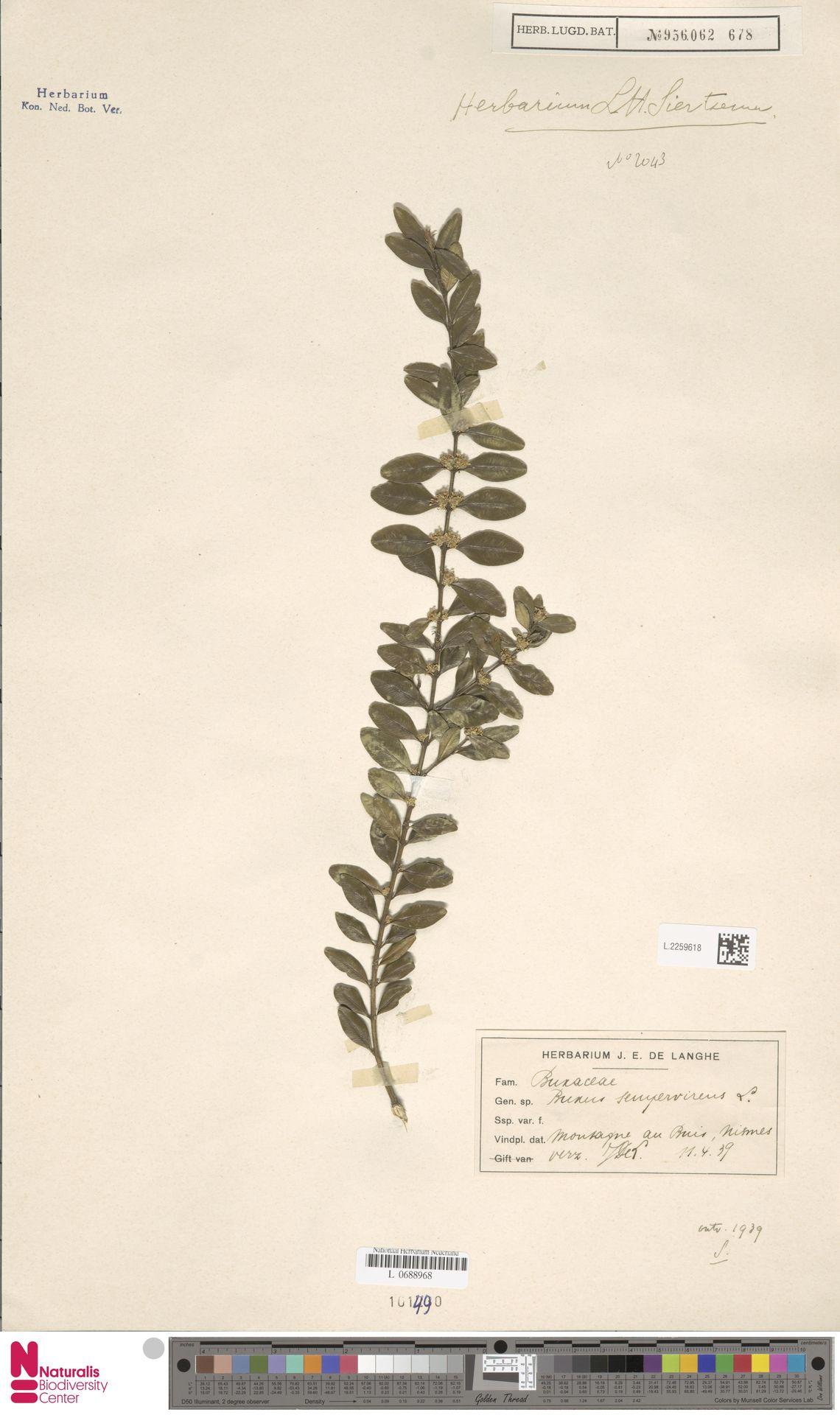 L.2259618 | Buxus sempervirens L.