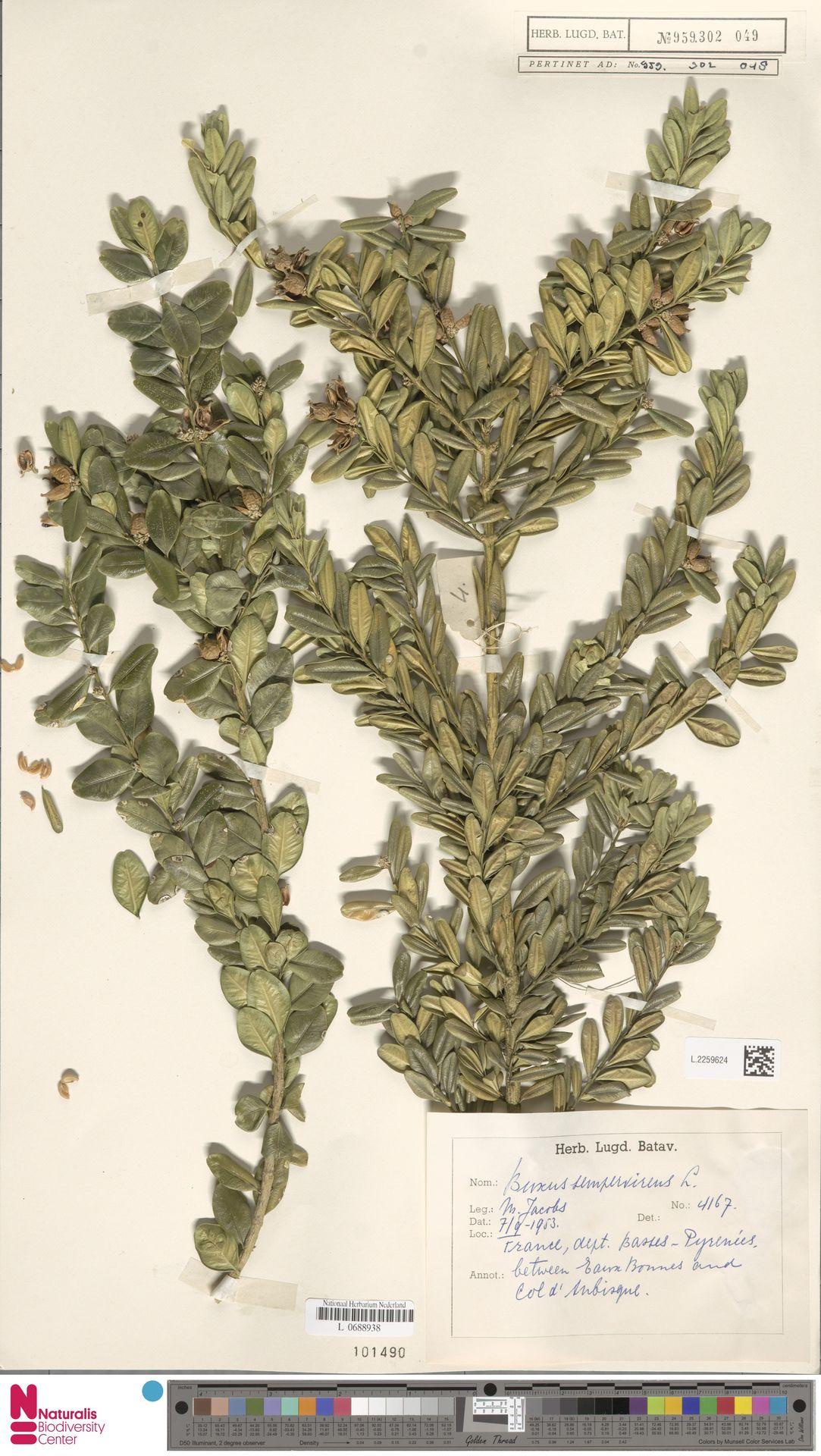 L.2259624 | Buxus sempervirens L.