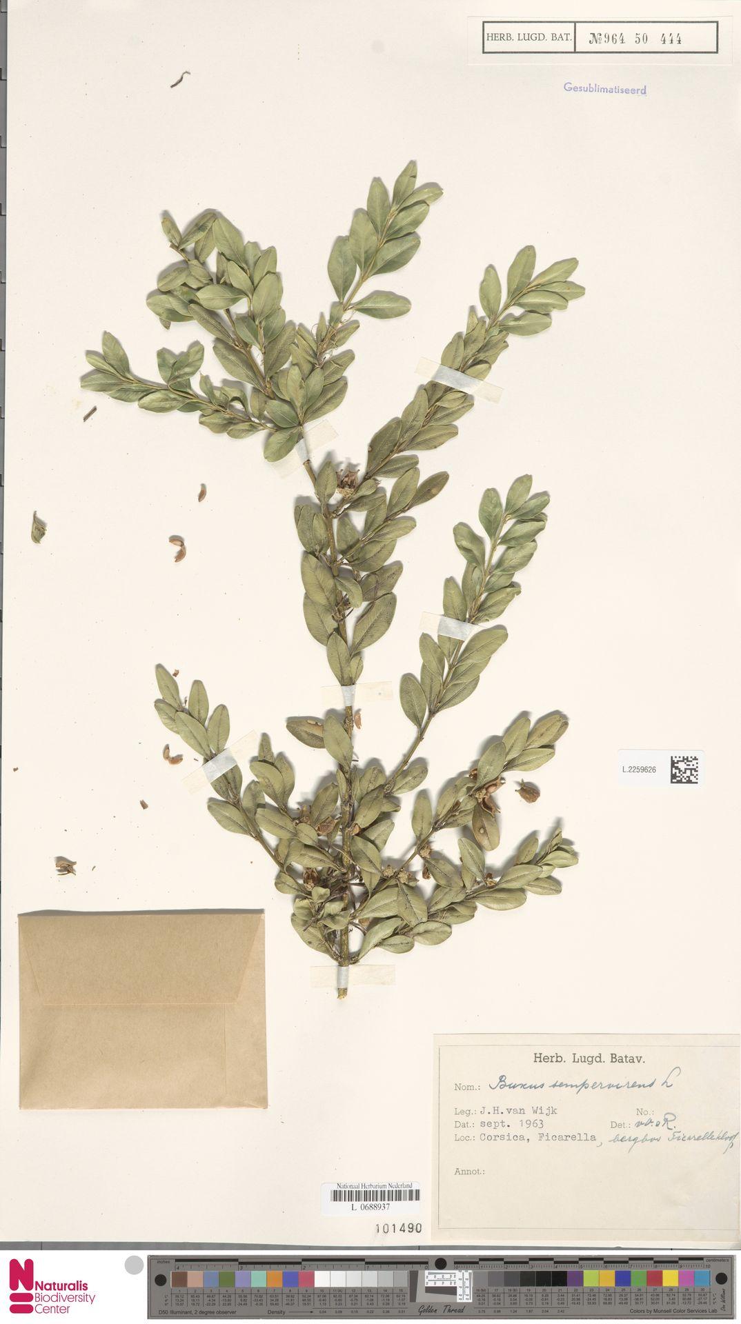 L.2259626 | Buxus sempervirens L.