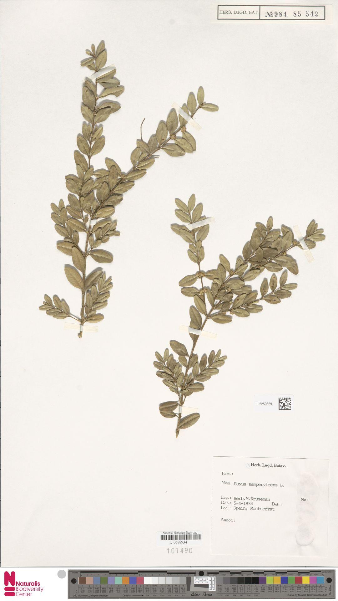 L.2259629 | Buxus sempervirens L.