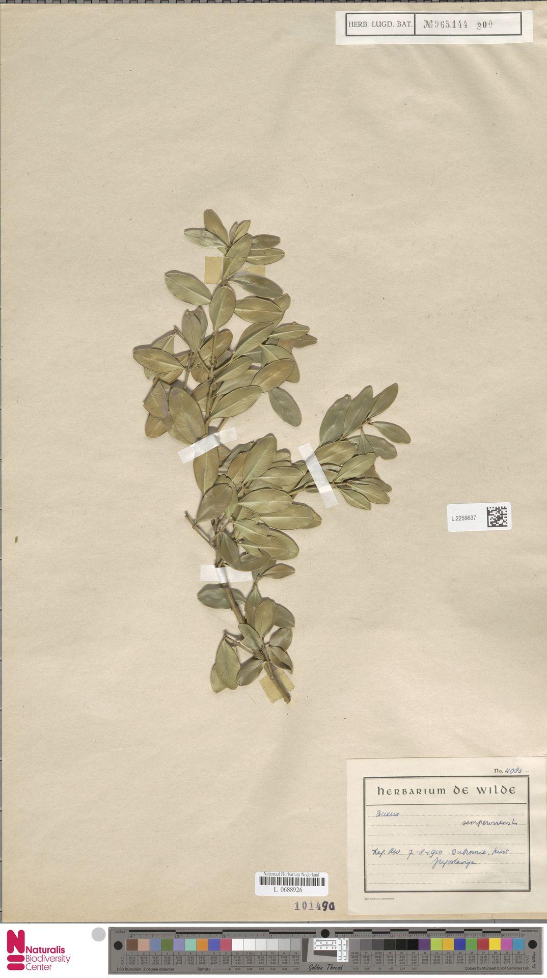 L.2259637 | Buxus sempervirens L.