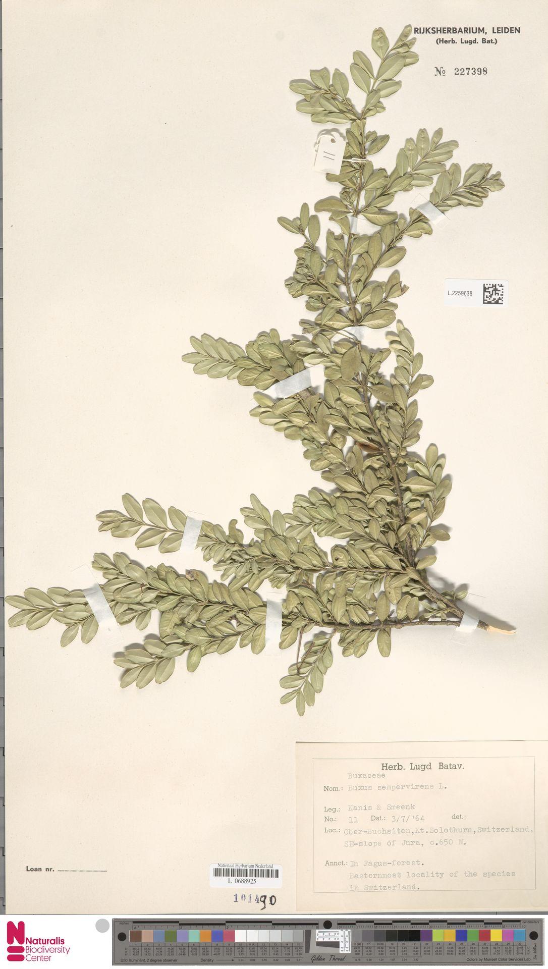 L.2259638 | Buxus sempervirens L.