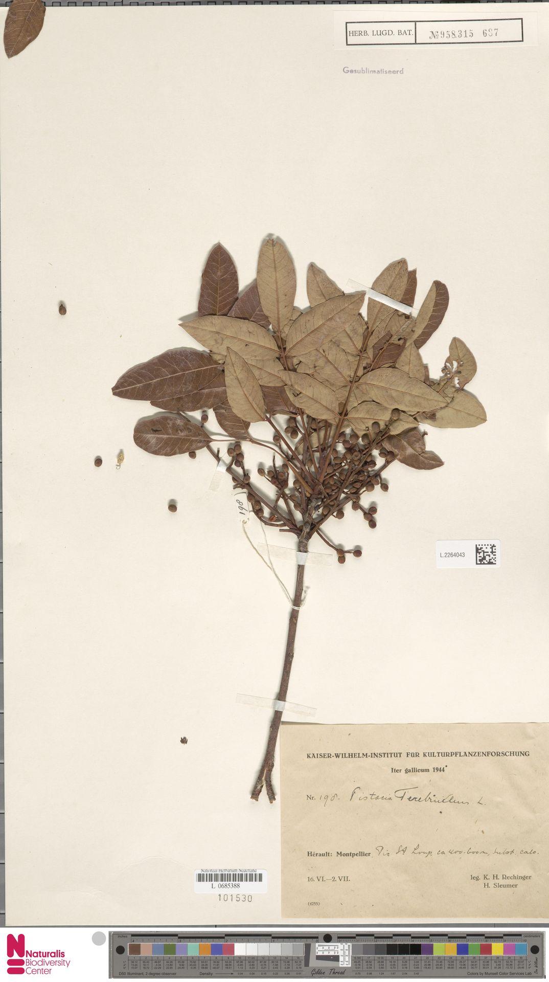 L.2264043 | Pistacia terebinthus L.