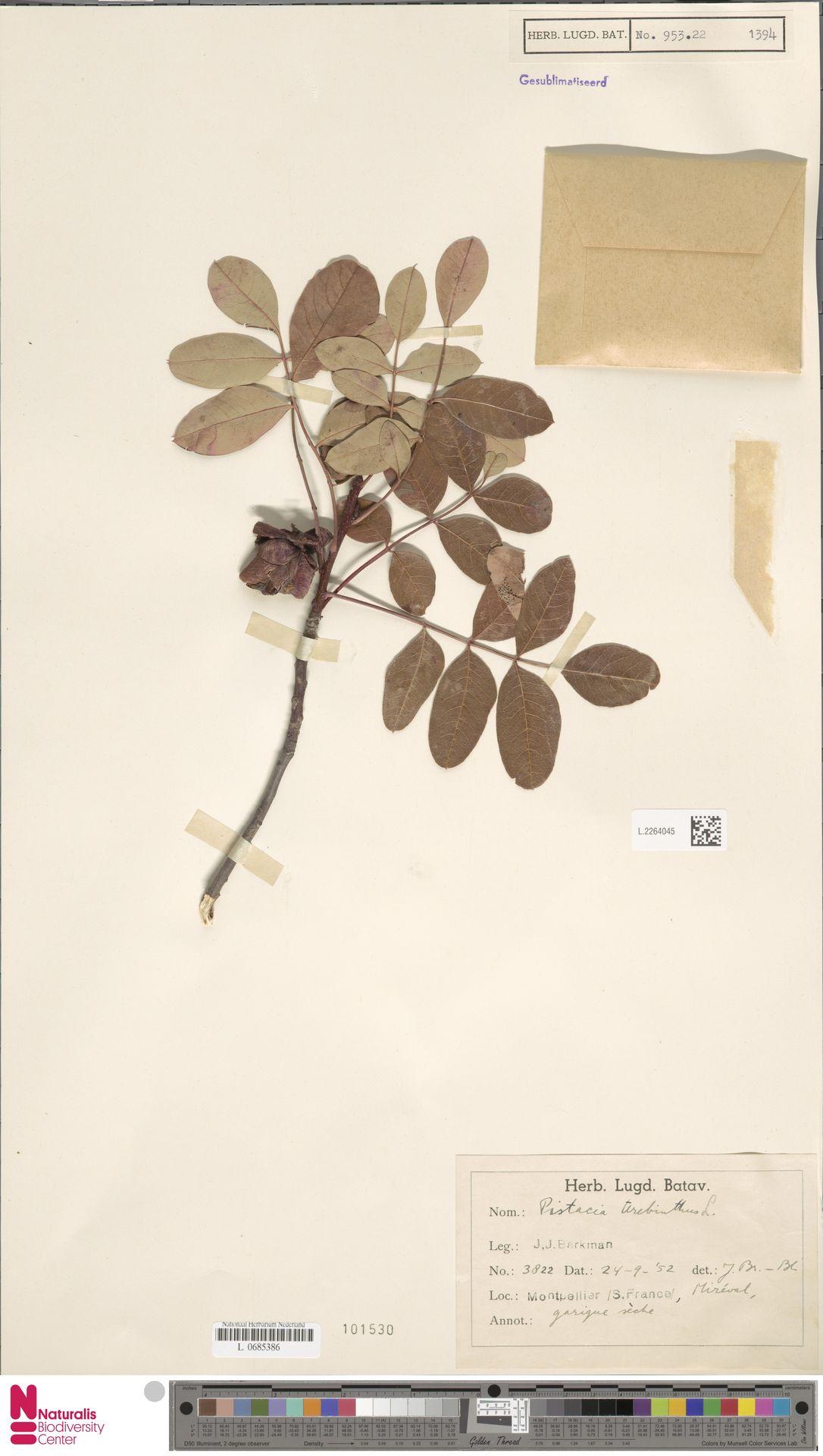 L.2264045 | Pistacia terebinthus L.