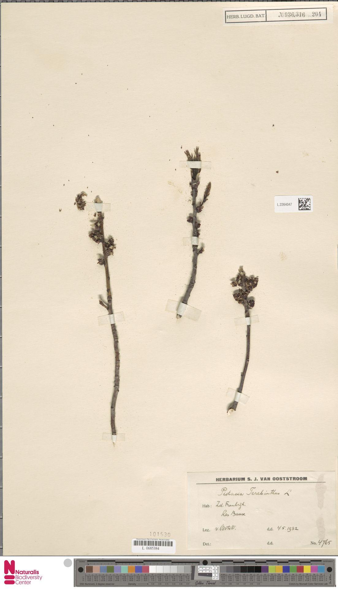 L.2264047 | Pistacia terebinthus L.