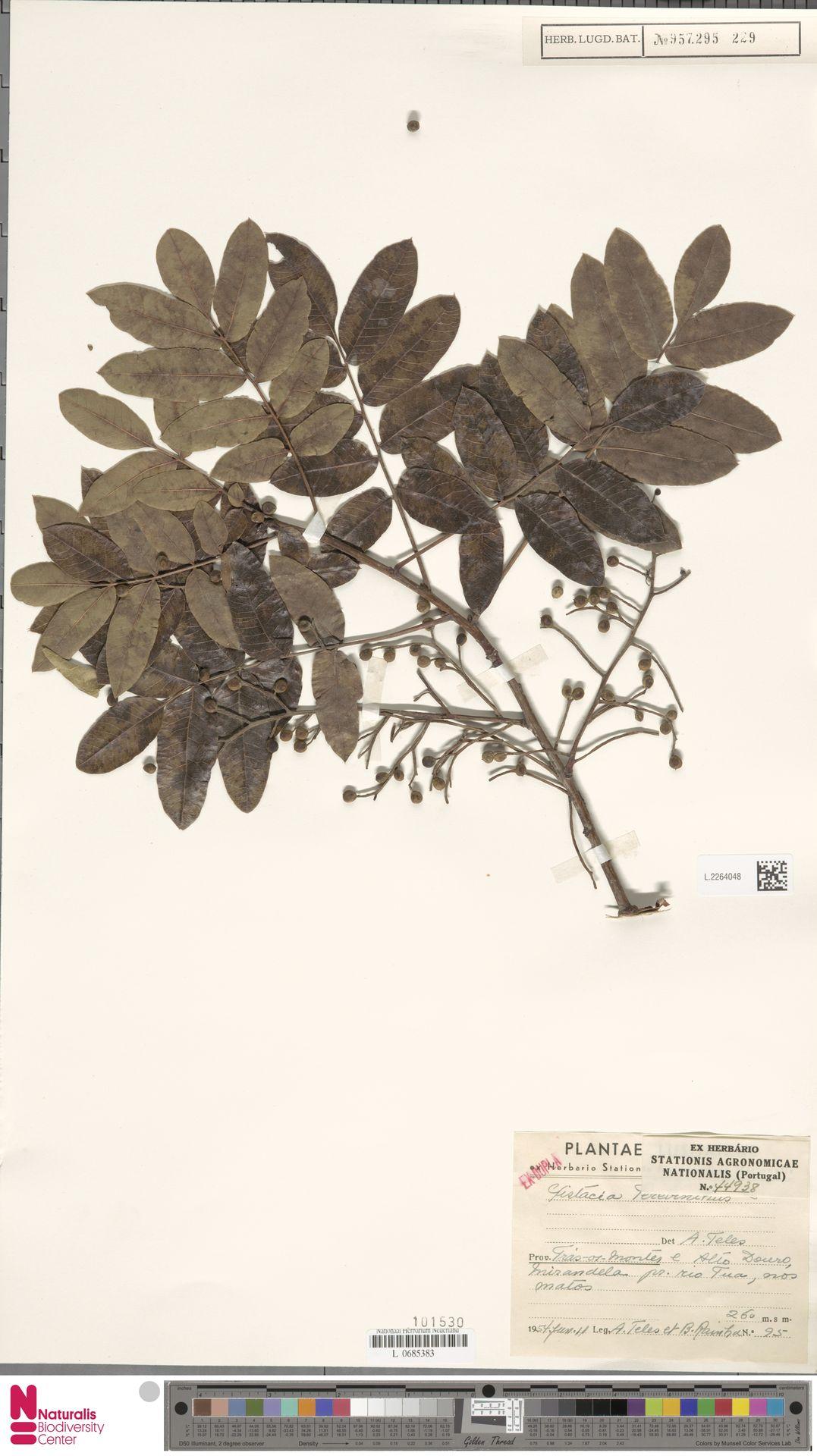 L.2264048 | Pistacia terebinthus L.
